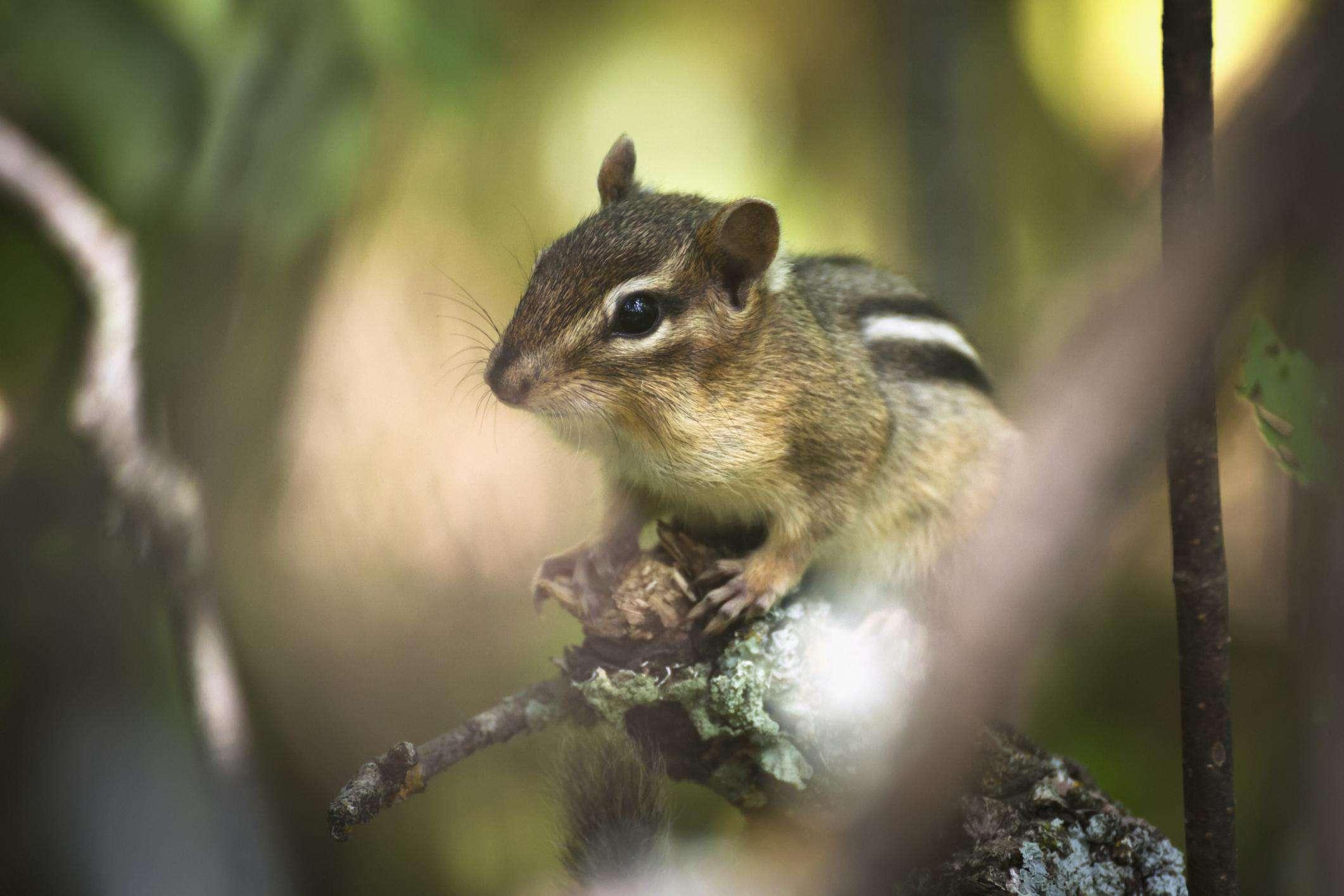 Chipmunk on a tree branch