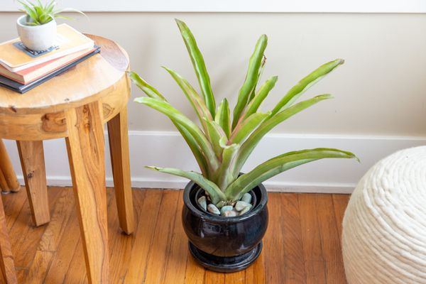 Potted green bromeliad on a wood floor