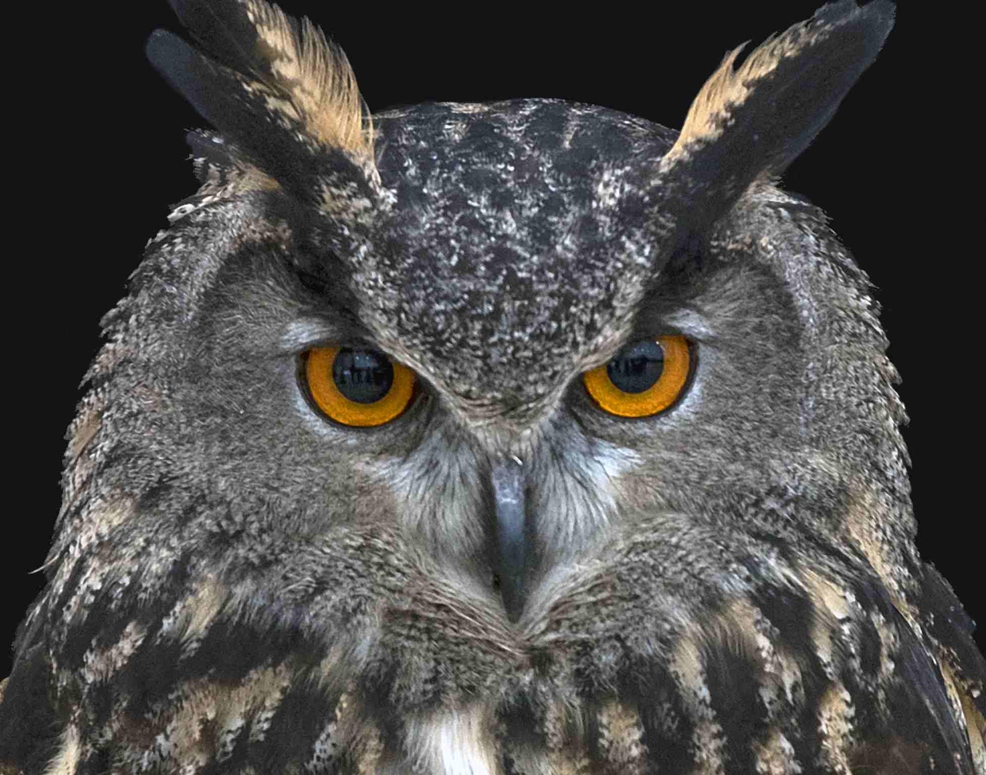 Ear tufts of an owl