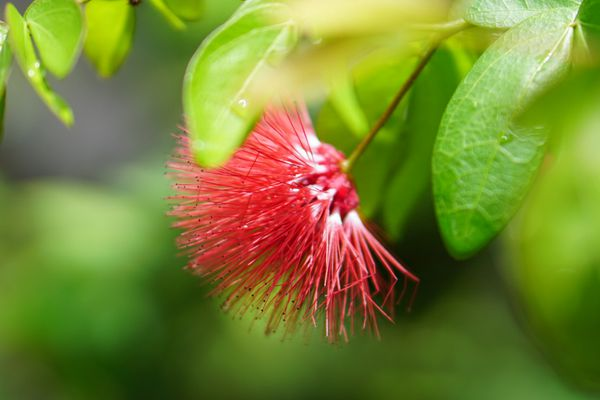 Fairy duster plant with feathery red flower ball on thin stem closeup
