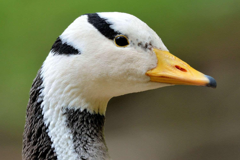Bar-Headed Goose Profile