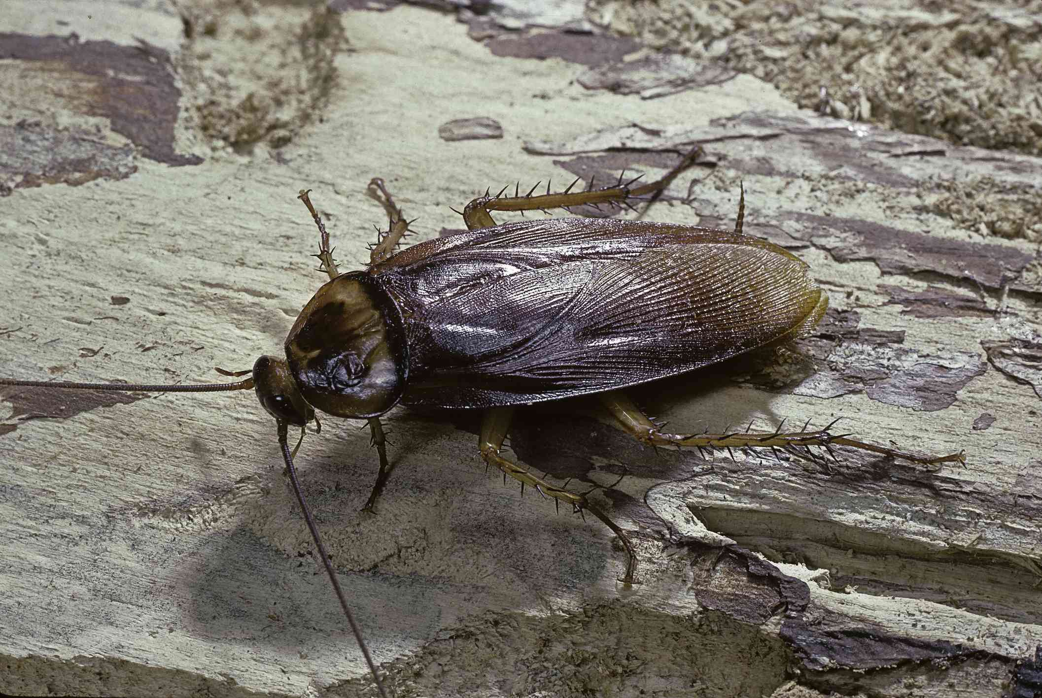 A brown cockroach with spiky legs on a tree branch