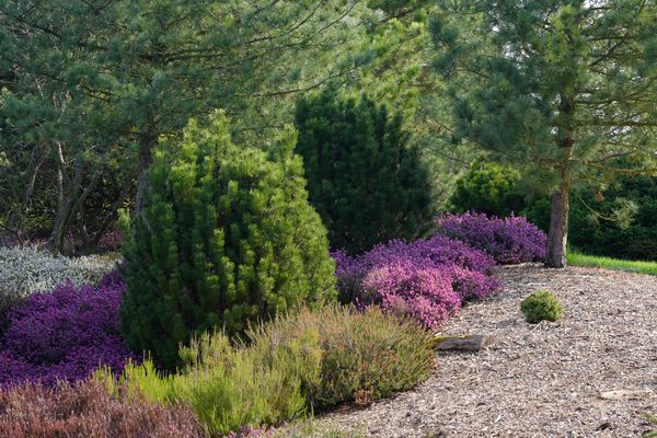 Dwarf trees growing in garden surrounded by green and purple grasses and buches