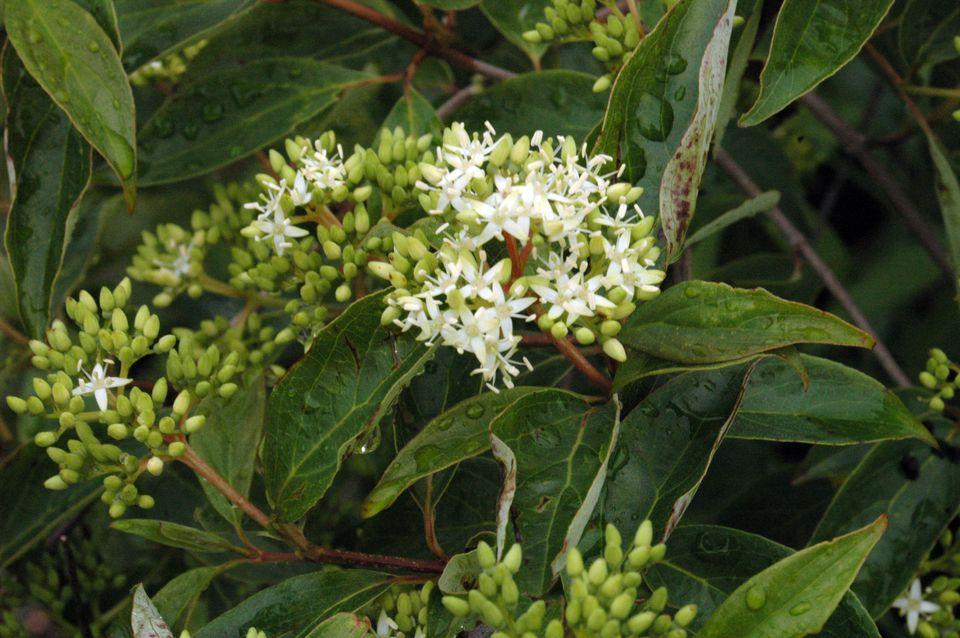 Gray dogwood (Cornus racemosa) in bloom