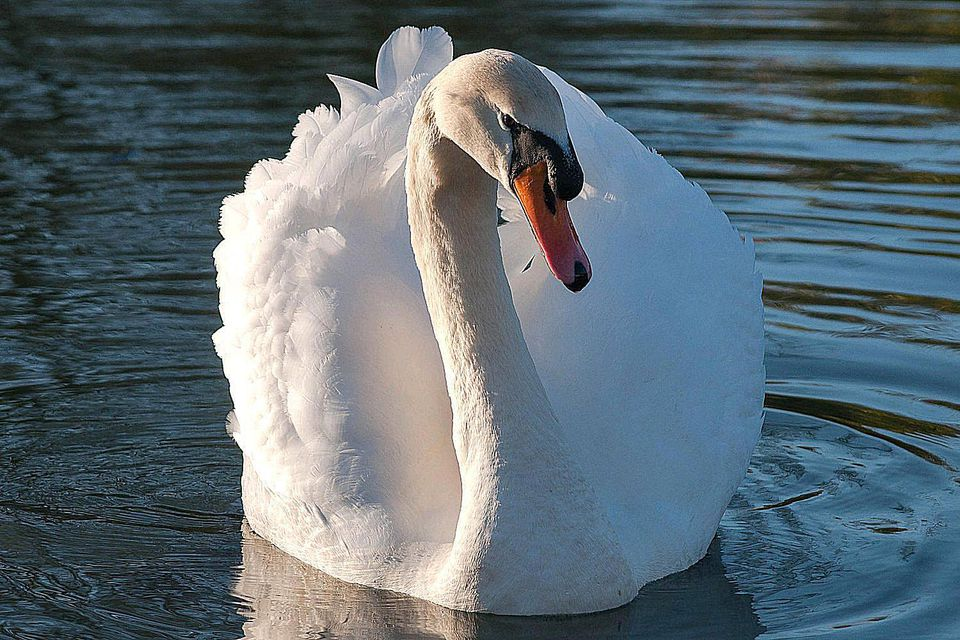 Close-up of a mute swan