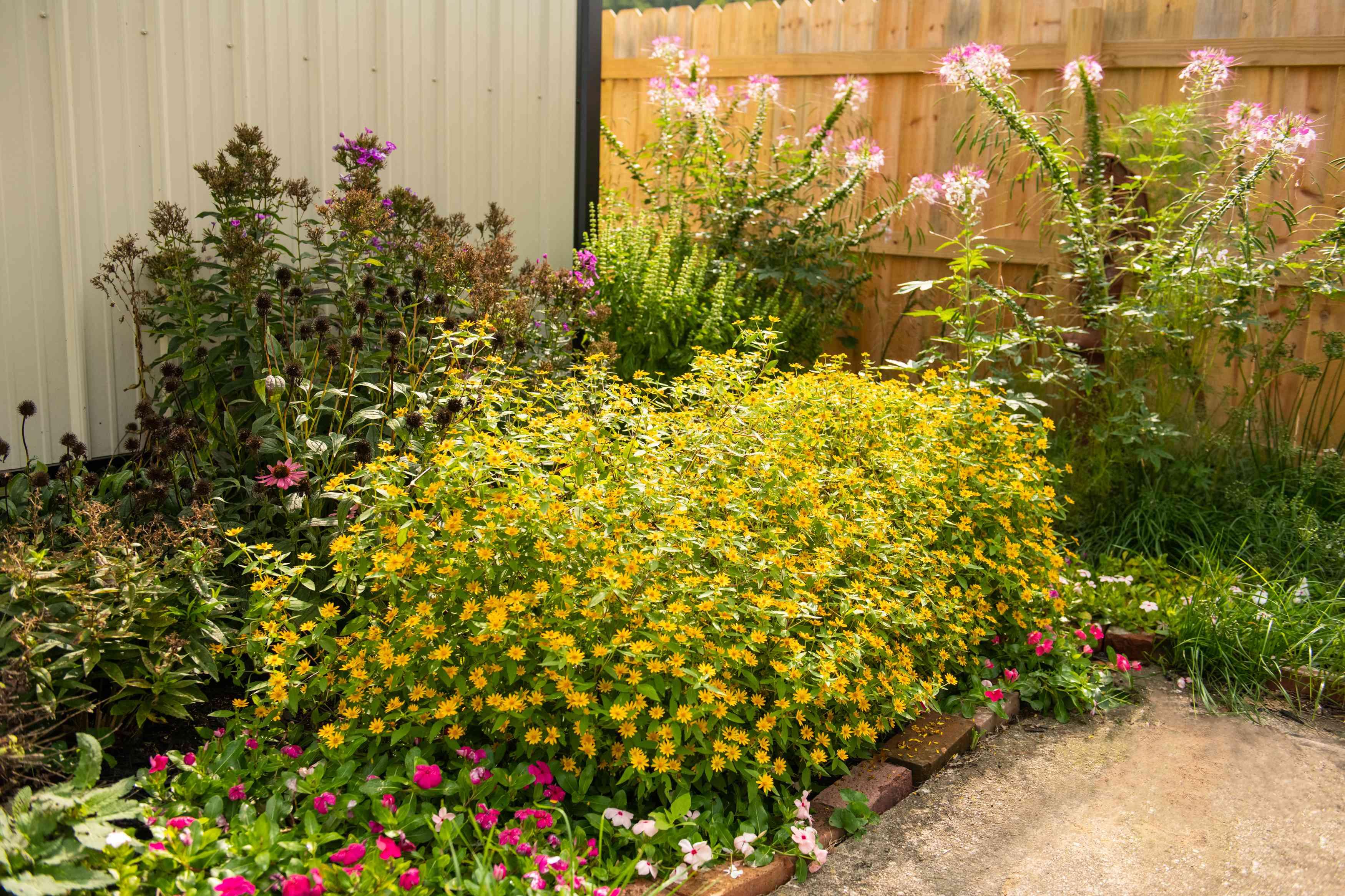 melampodium in a garden