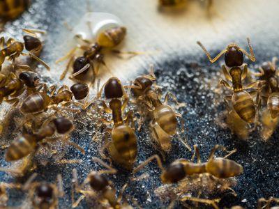Thief ants feeding on food on the floor