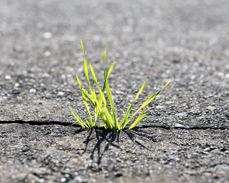 Weeds take advantage of microclimates created by driveway cracks.