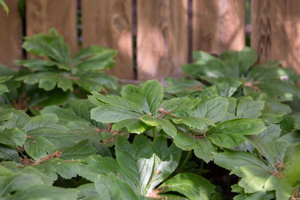 Mayapple wildflower plant with divided umbrella-like leaves in front of wood fence