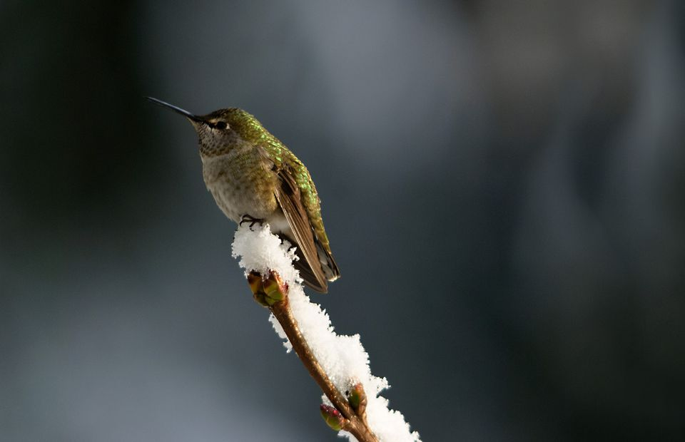 Hummingbird perched on snow branch