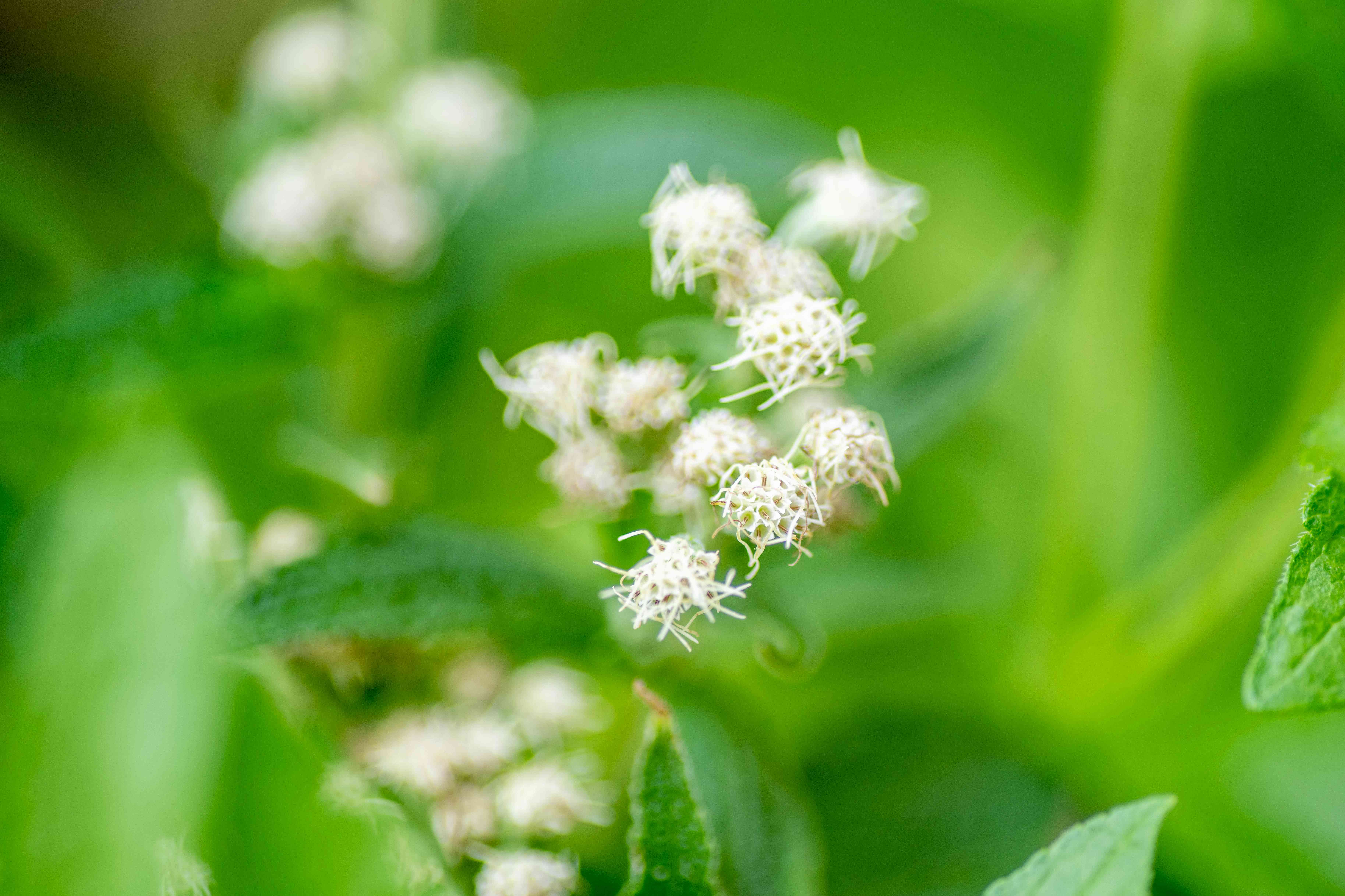 Boneset plant with tiny white fluffy flowers in flat-topped clusters closeup