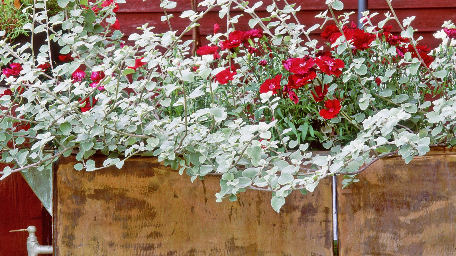 How to Grow Licorice Plants in Gardens or Containers