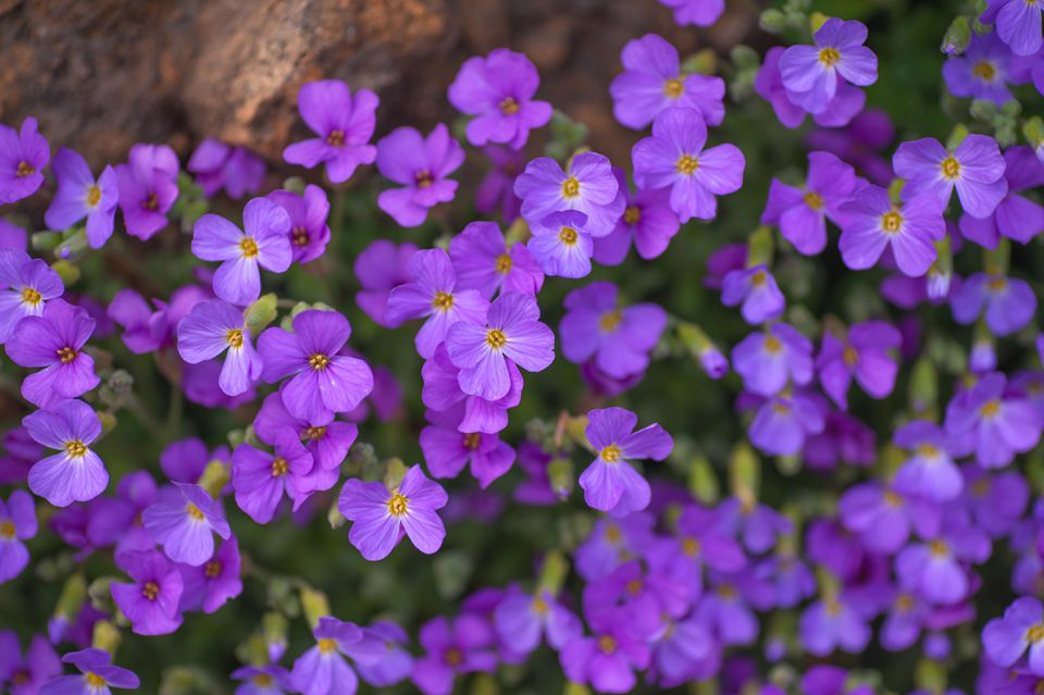 Aubrieta with purple flowers nestled on rock