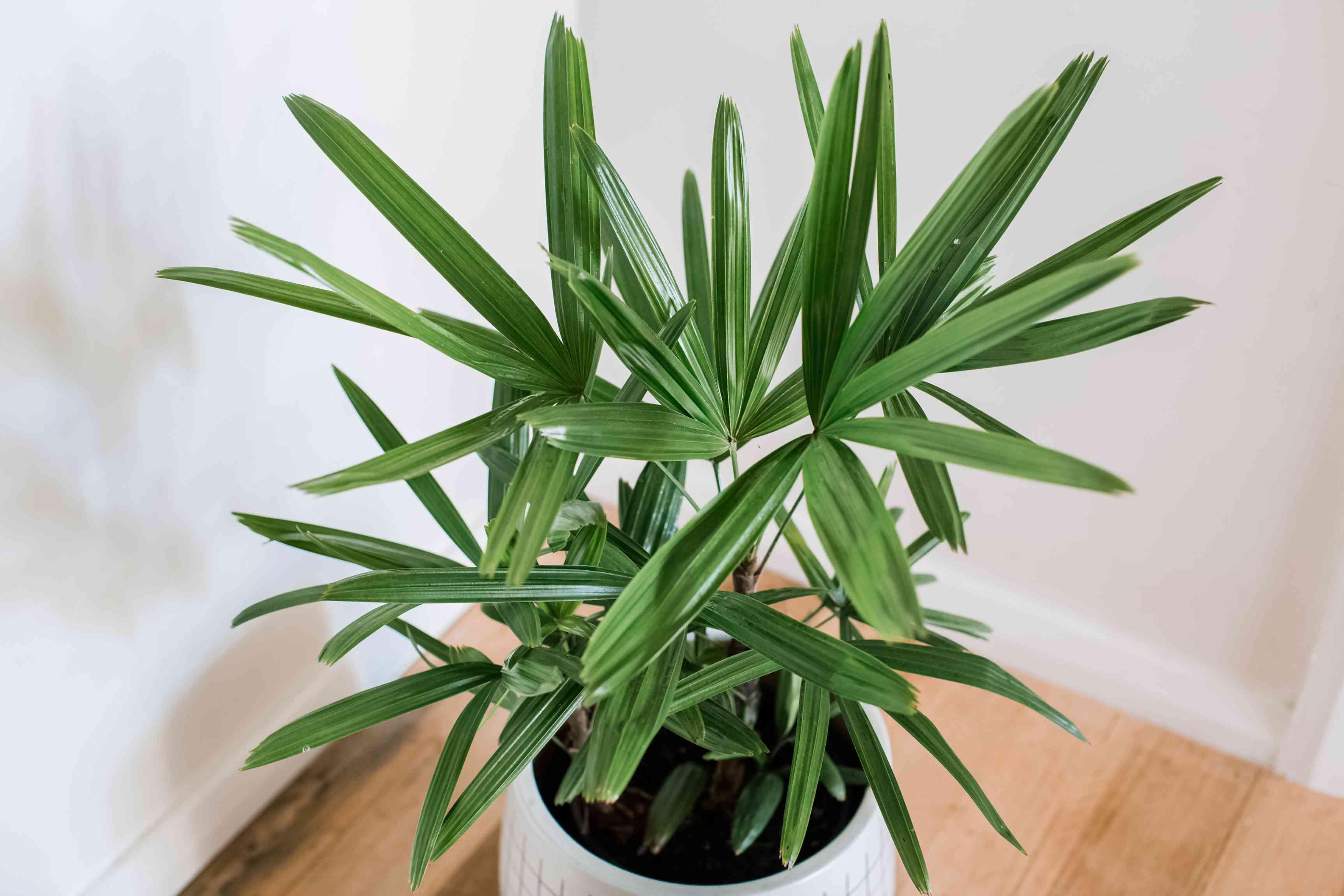closeup of a lady palm