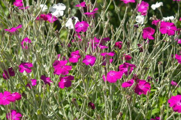 Garden phlox plant with pink and white flowers in garden