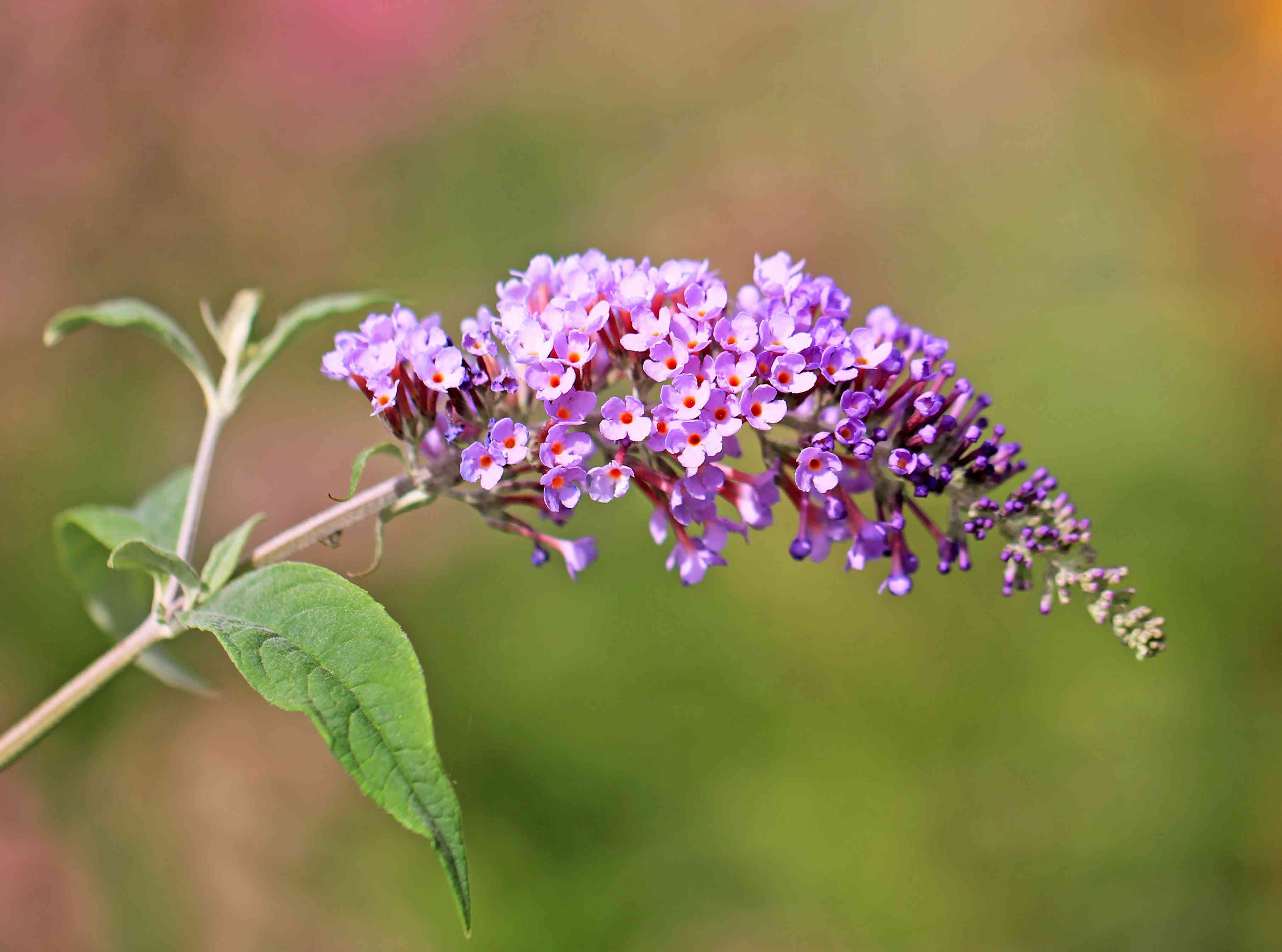 Buddleja or Buddleia, common name is butterfly bush