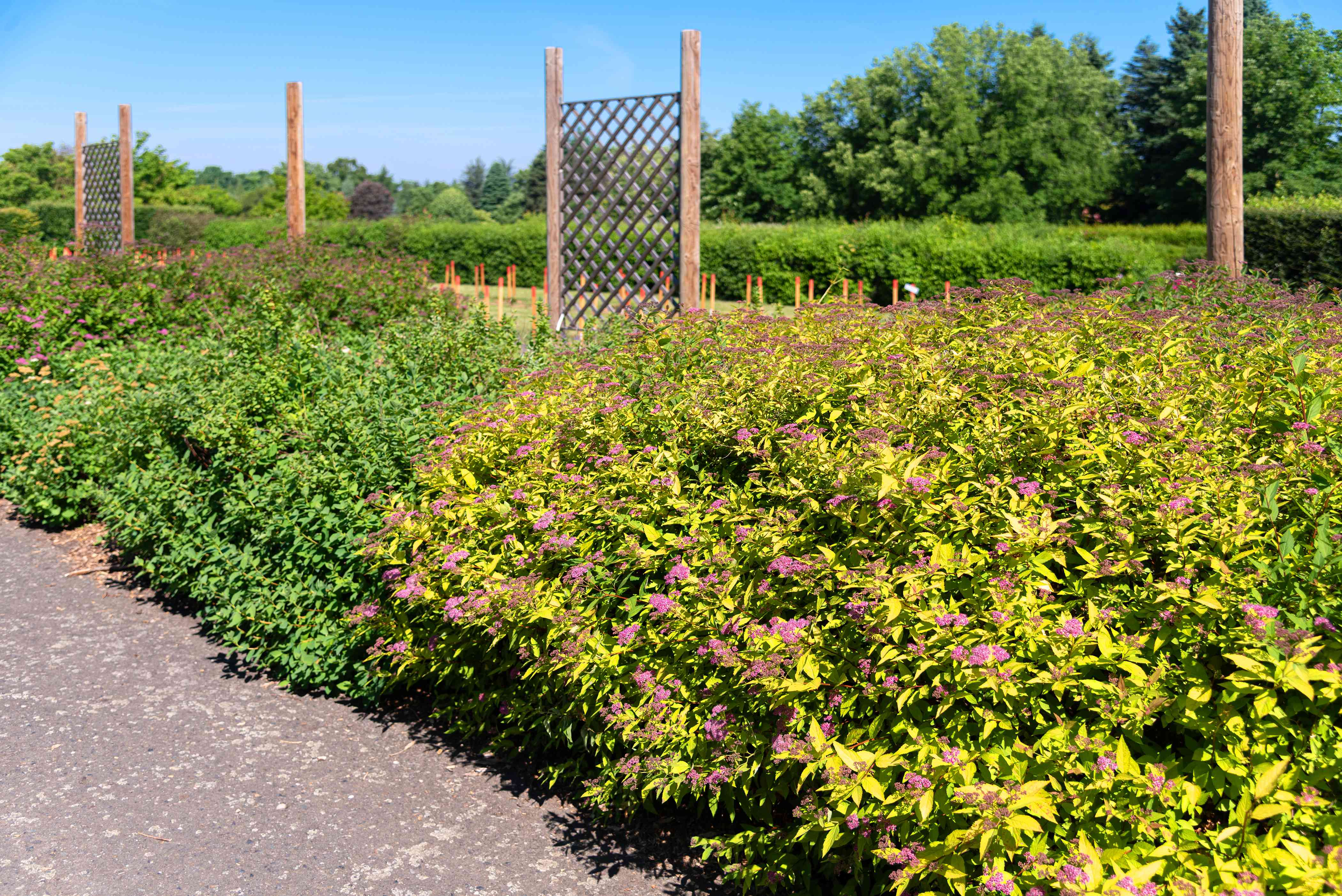 Gold mound spirea shrub with small pink flowers and golden leaves in garden with trellises