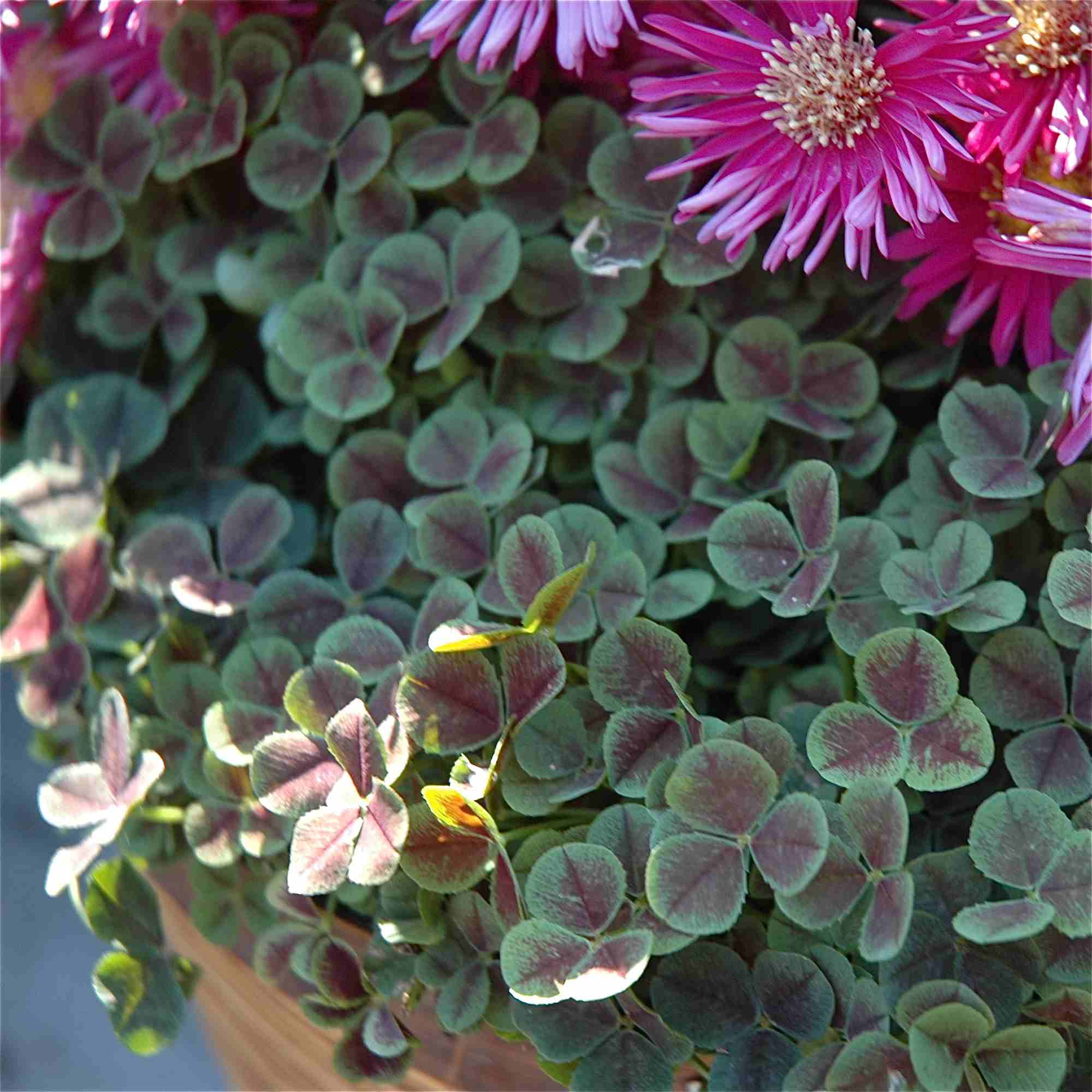 basket filled with white clover and pink aster