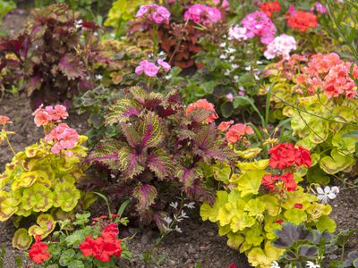 Geranium flowers with red and pink petals surrounded by perennial and annual plants