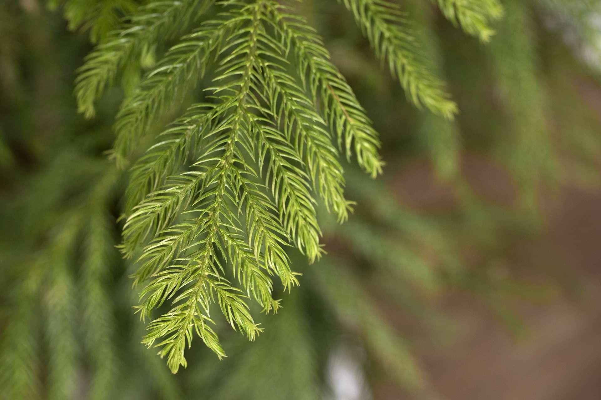 closeup of a Norfolk Island Pine