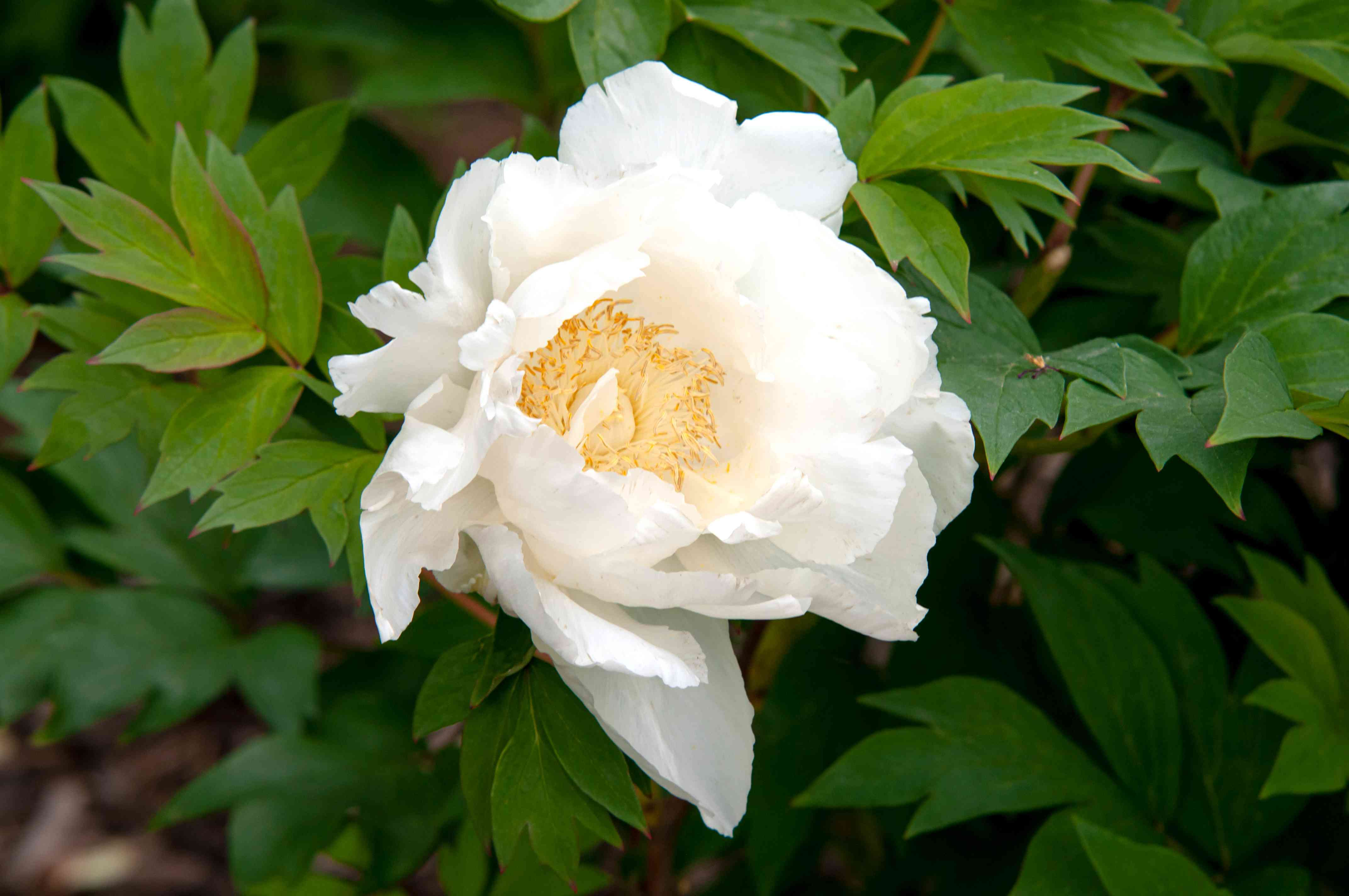 Itoh peony with white flower and yellow anthers closeup