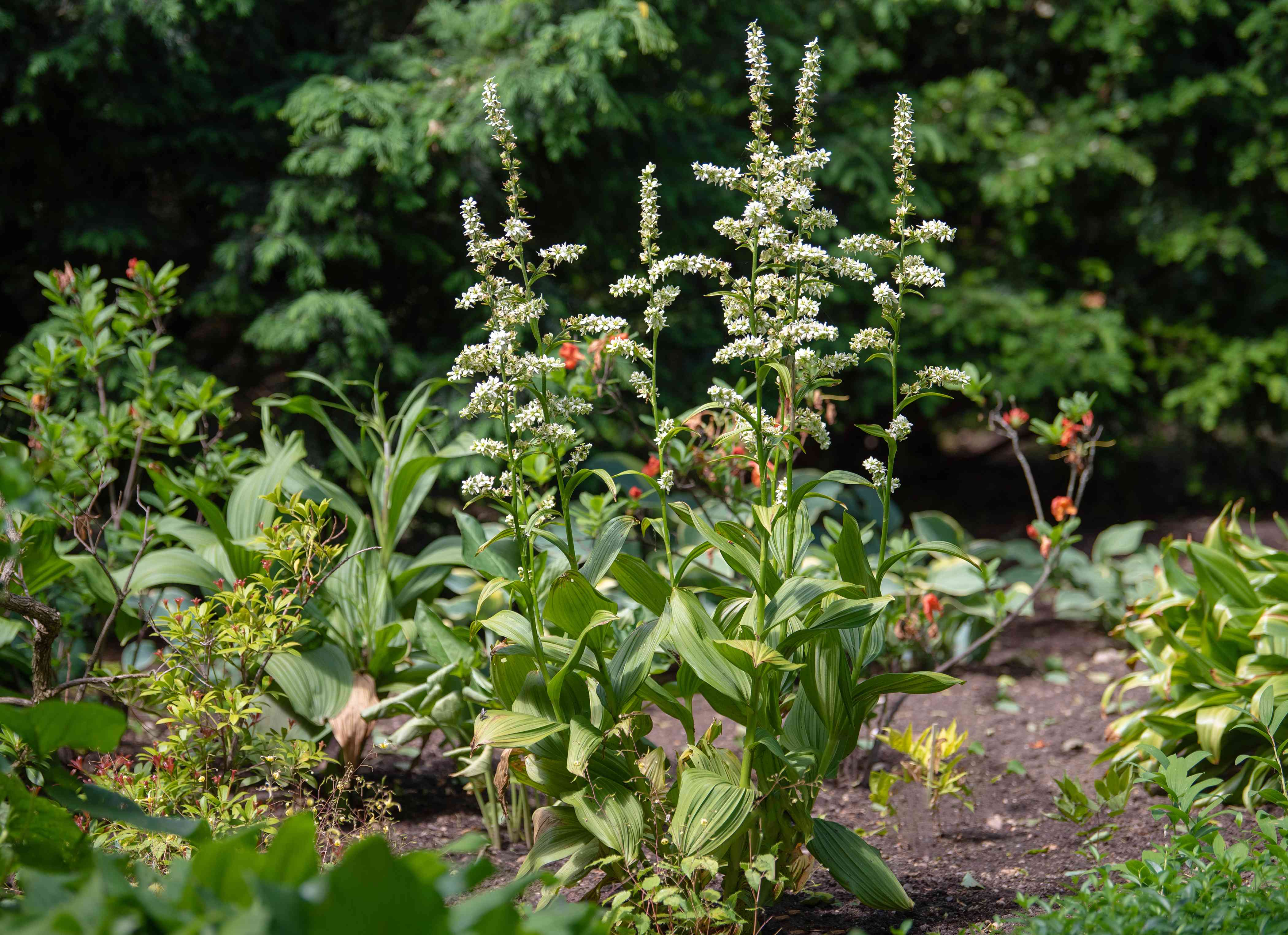 False hellebore plants with tall thin stems and white flower panicles in garden