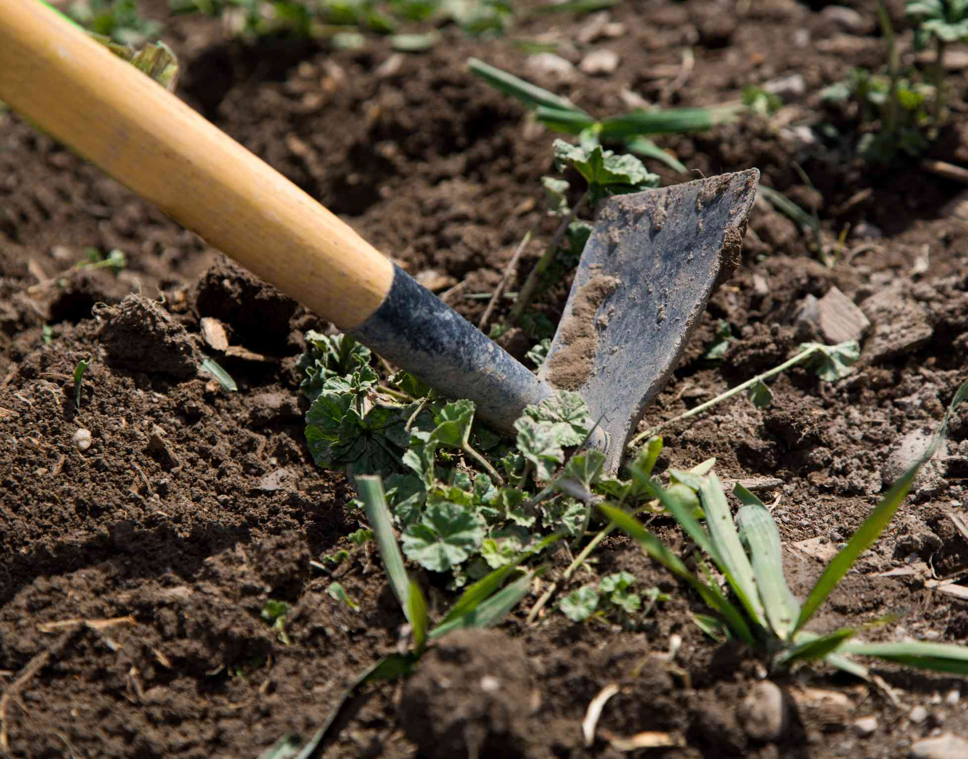 Digging up the soil brings seeds to the surface