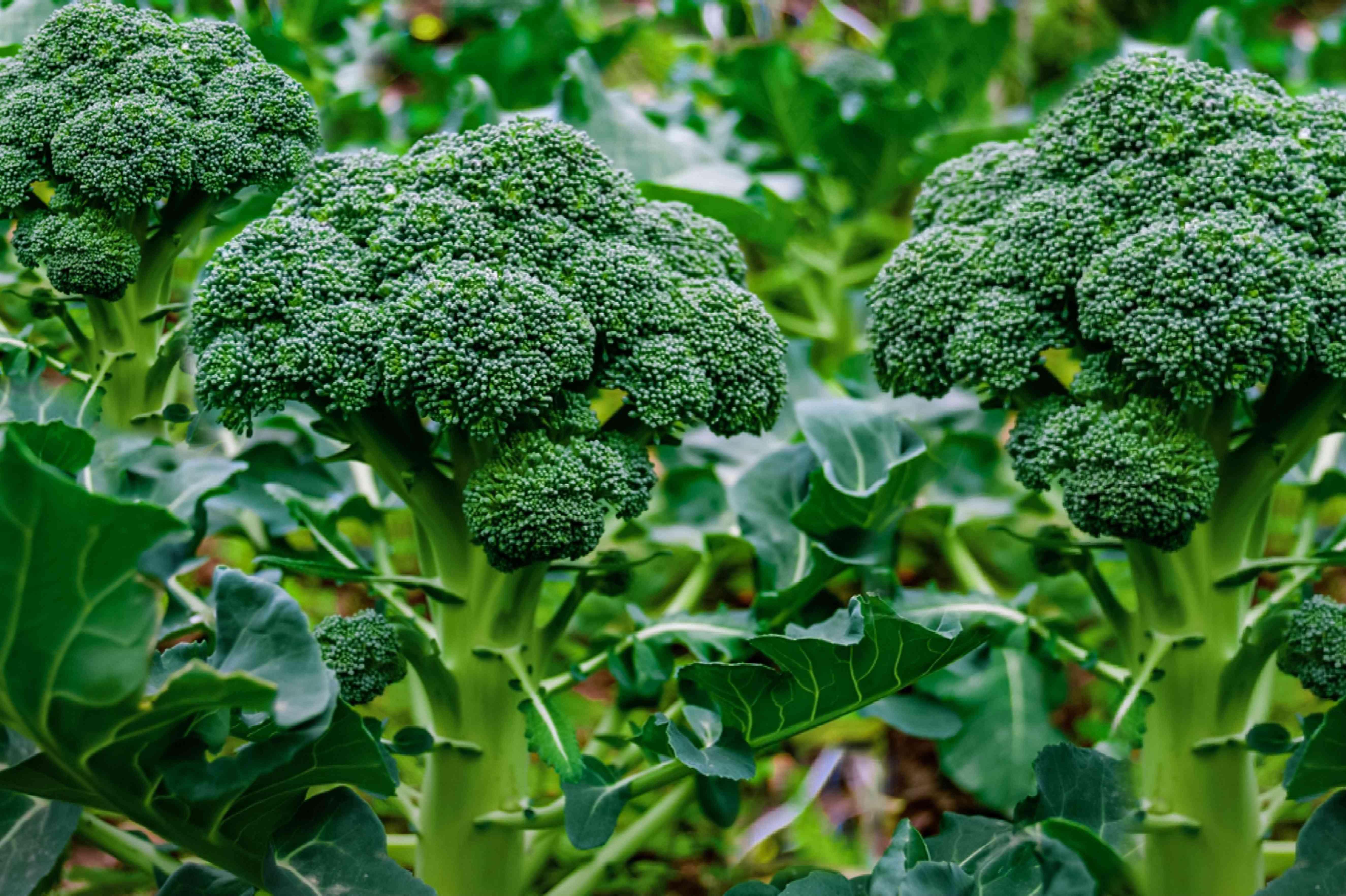 broccoli in the garden