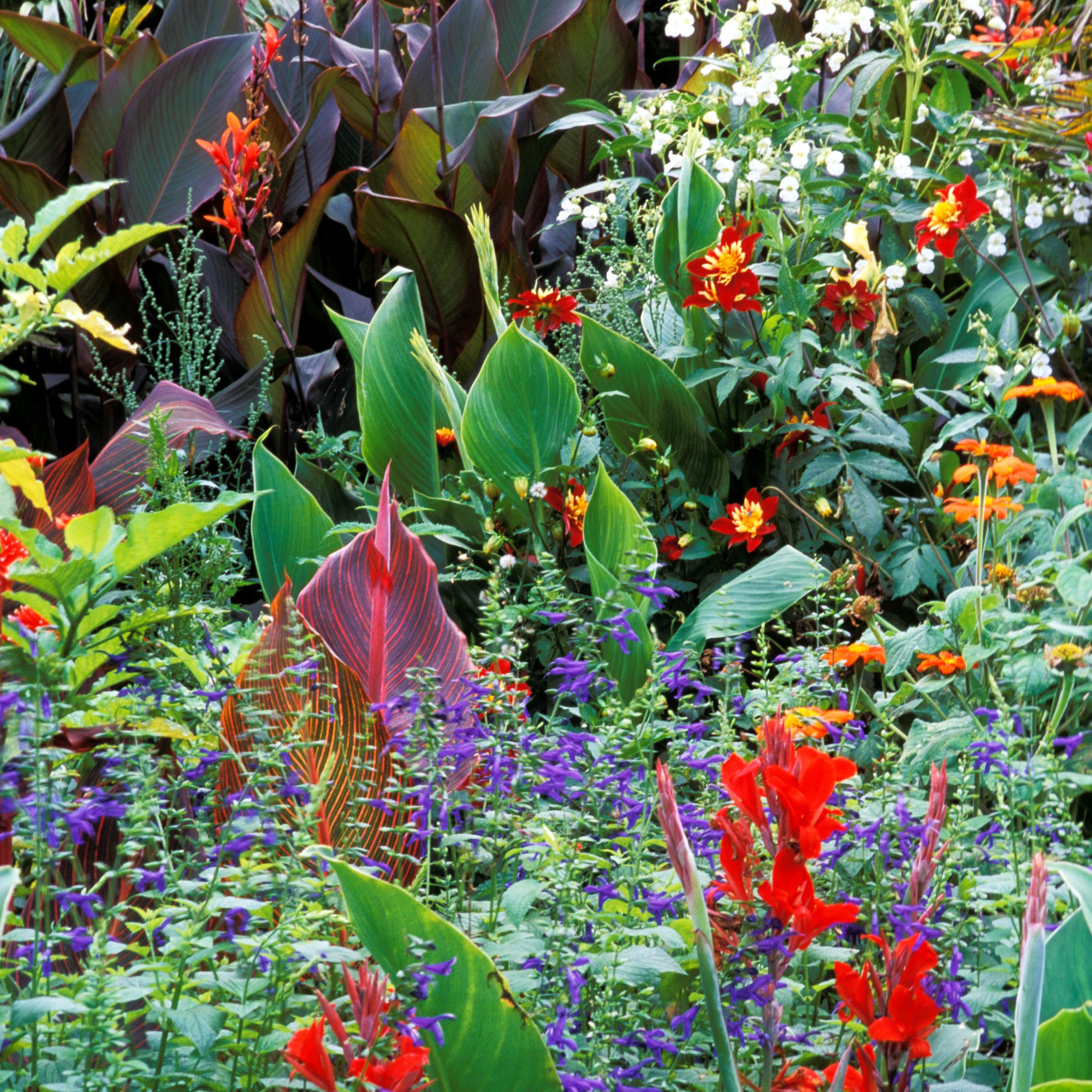 Garden Cannas