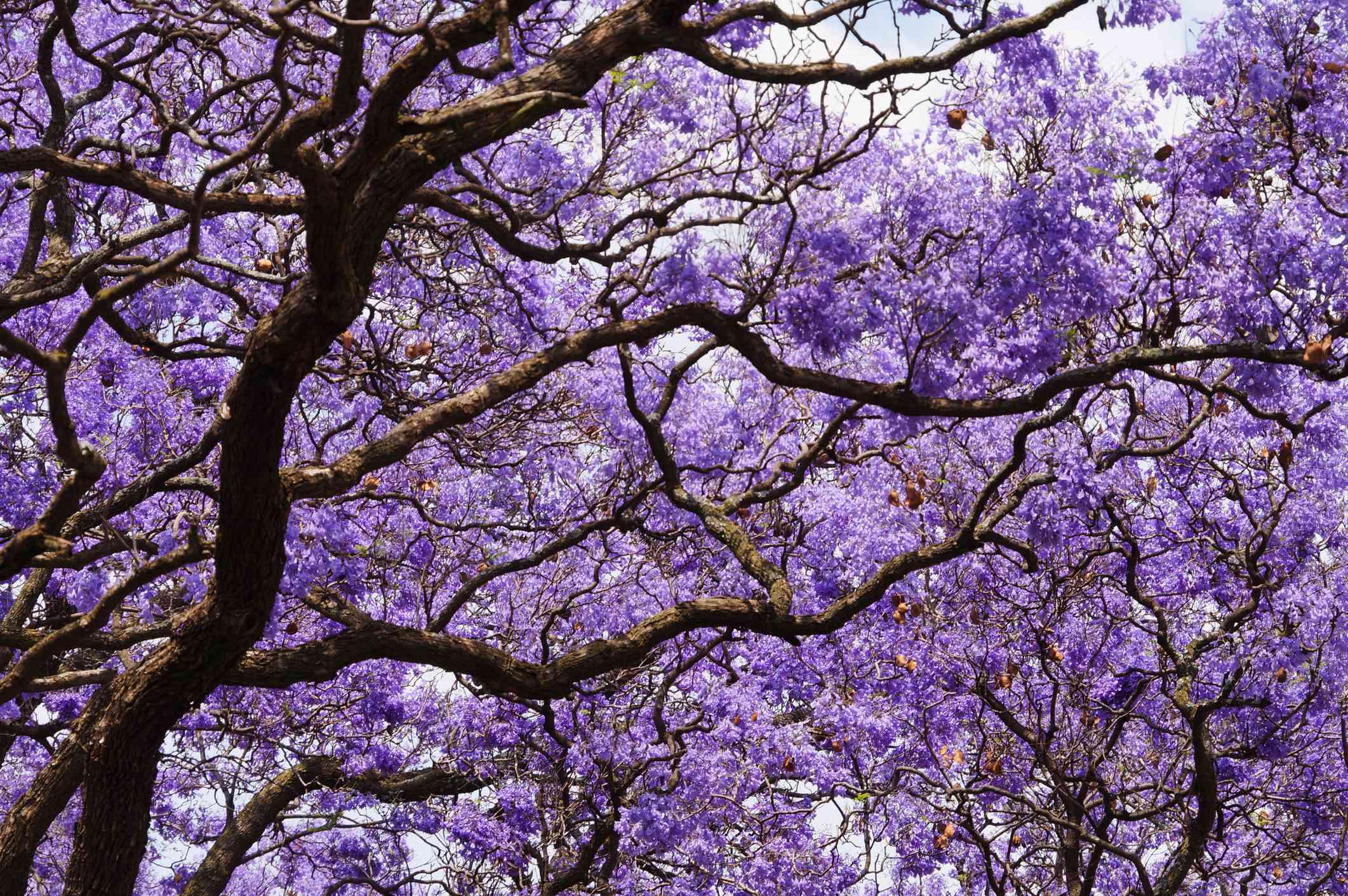 Beautiful violet vibrant jacaranda in bloom.