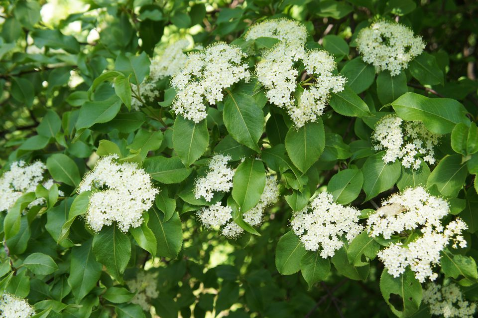 Rusty blackhaw viburnum white flowers on green shrub