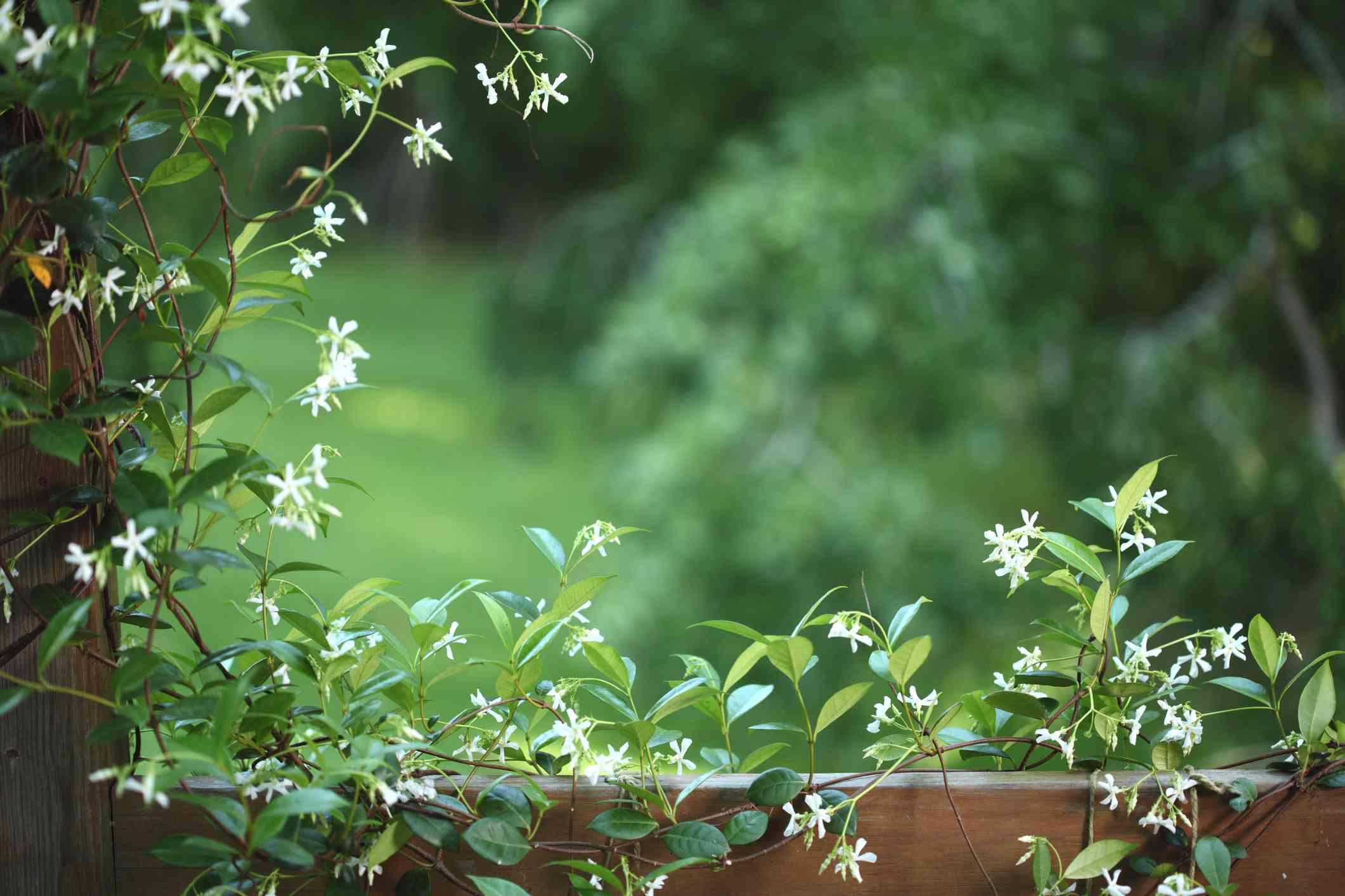 Confederate jasmine vines