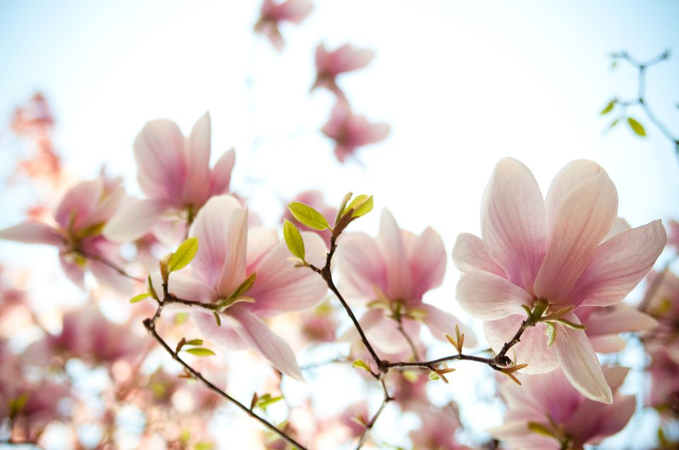 12 species of magnolia trees and shrubs magnolia blossoms mightylinksfo