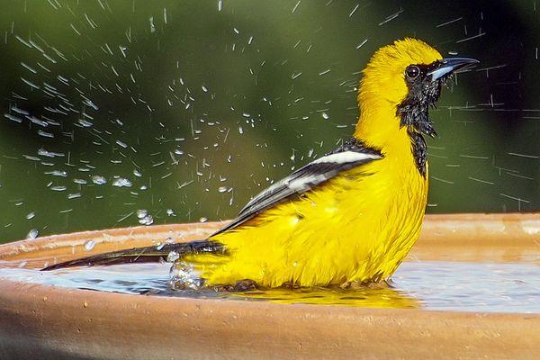 Hooded Oriole in a Bird Bath