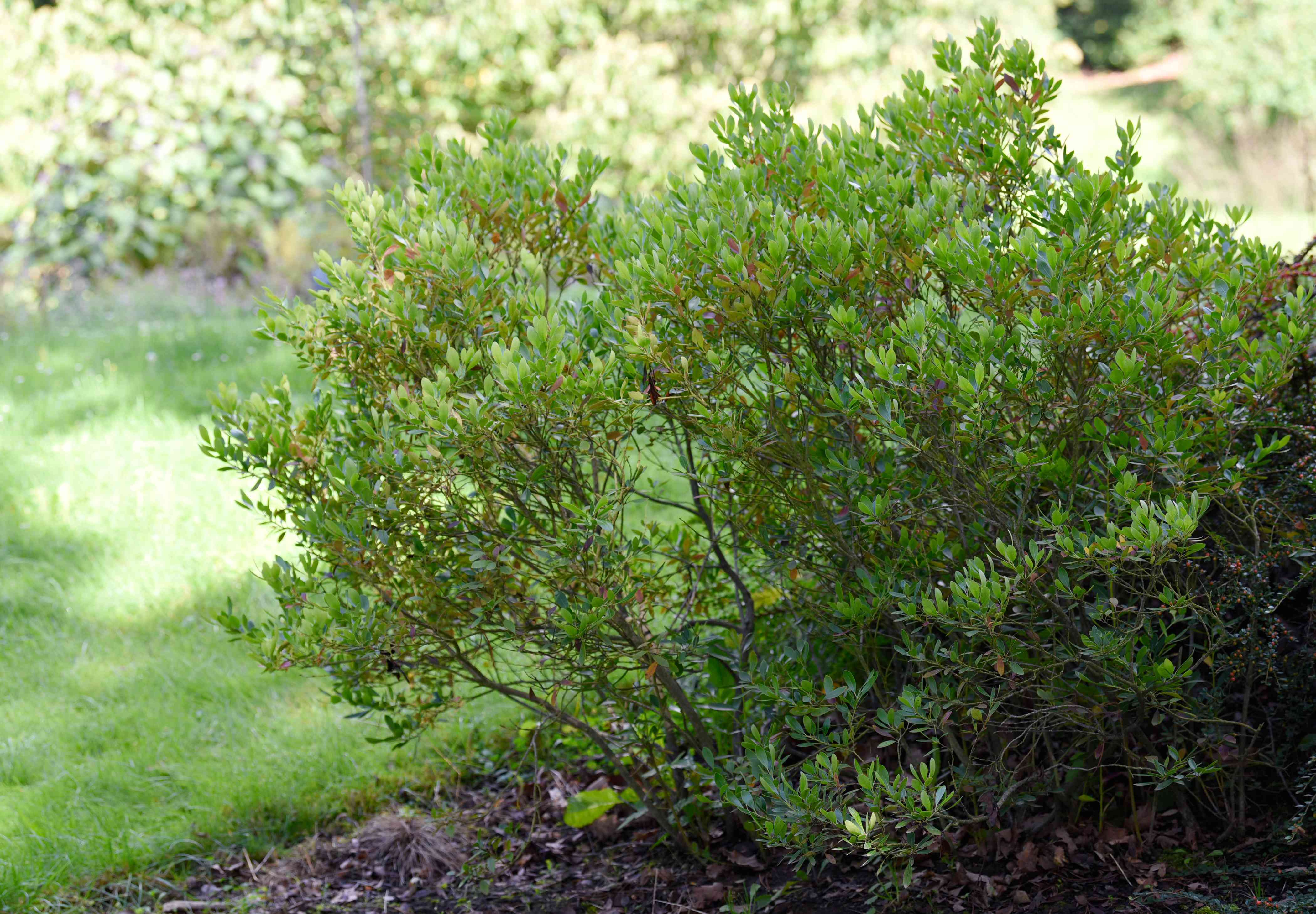 Inkberry holly shrub with broad upright branches near lawn