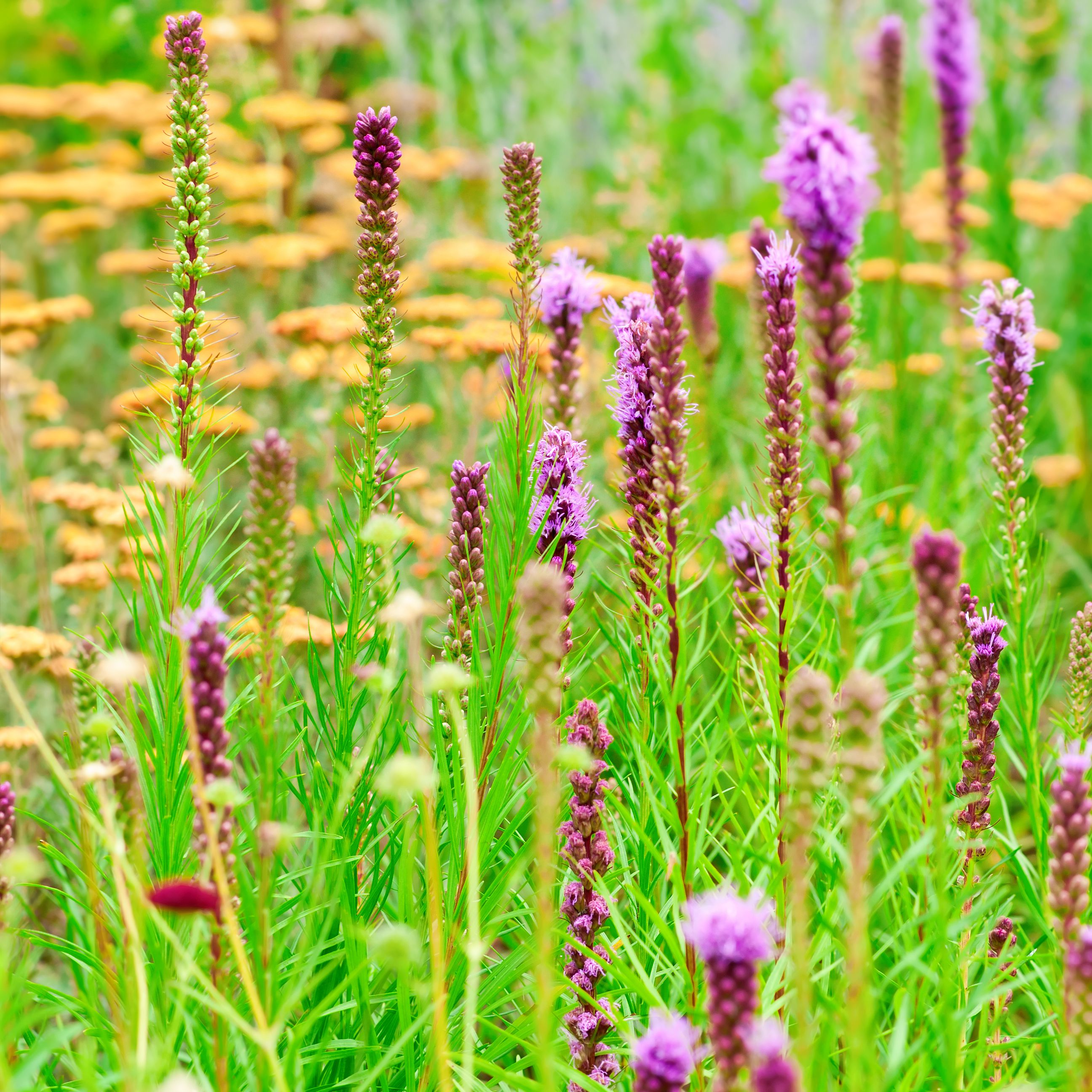 Summer garden with Blazing Star (Liatris) flowers - X