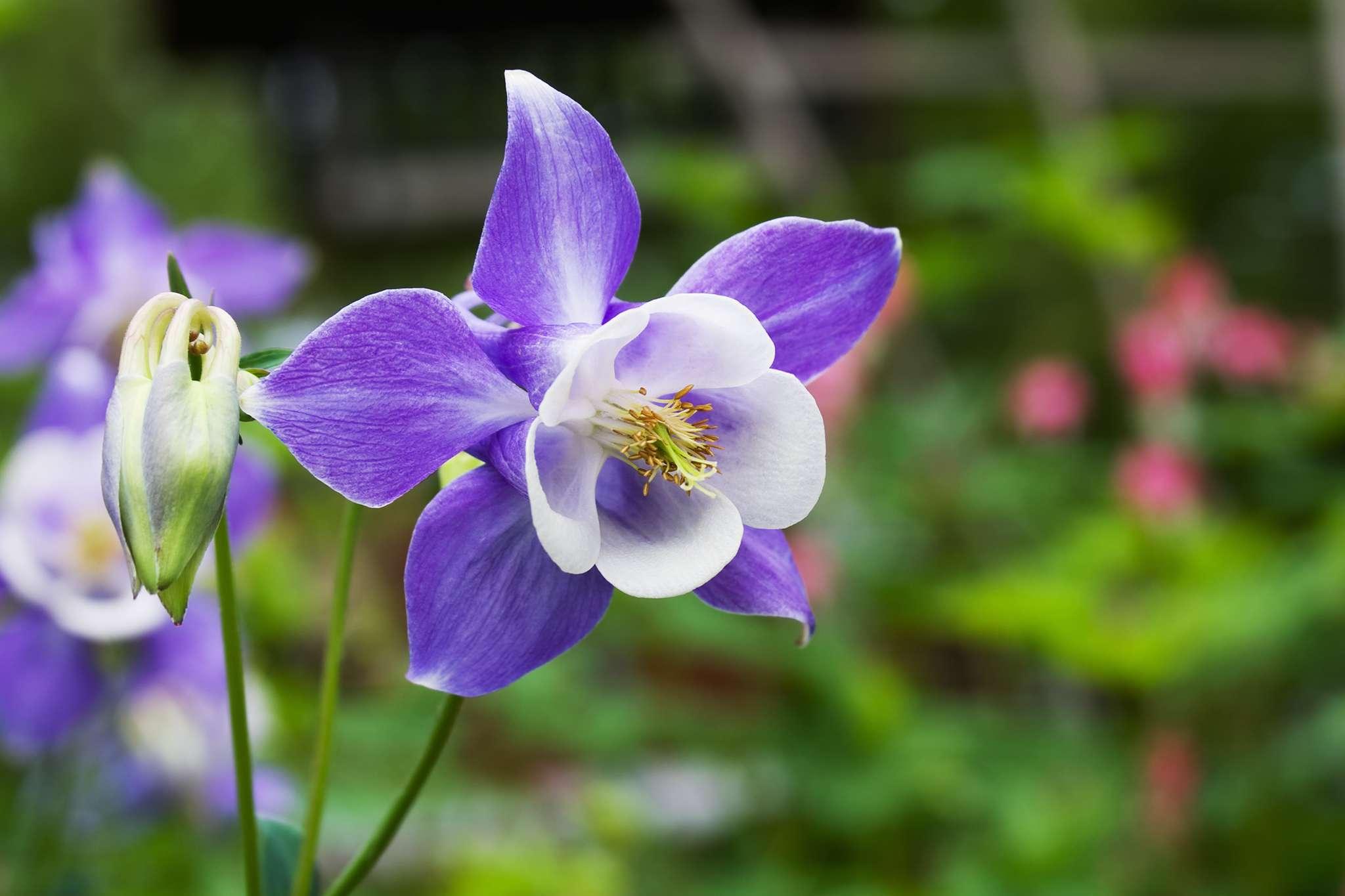 purple and white columbine