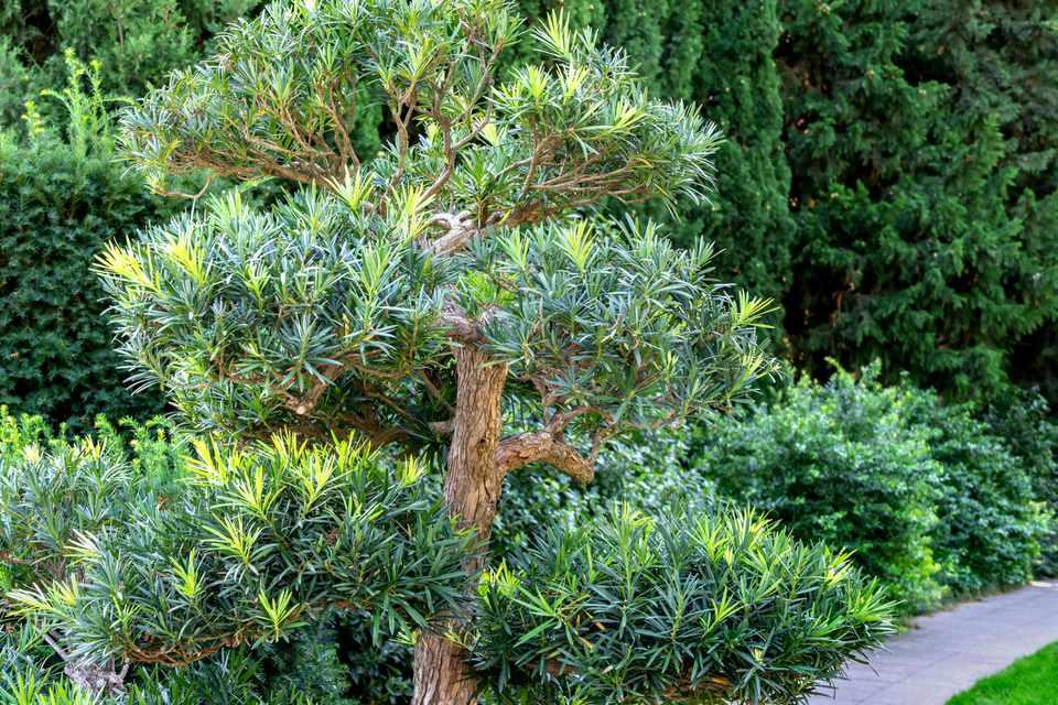 Podocarpus tree