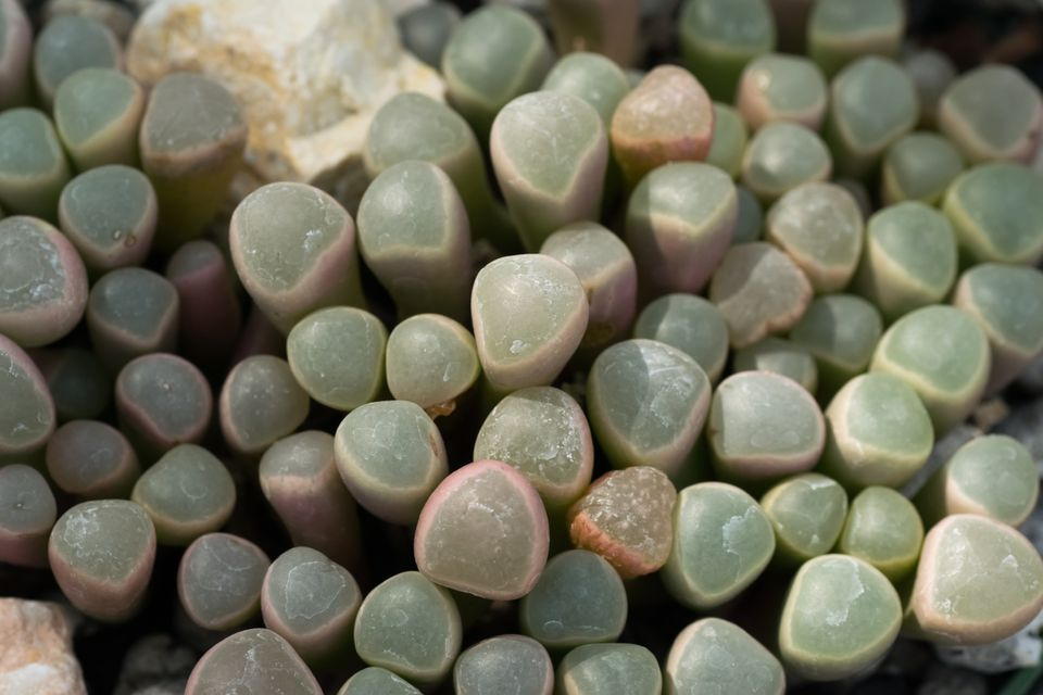 Baby toes succulents (Fenestraria rhopalophylla) close up shot from above.