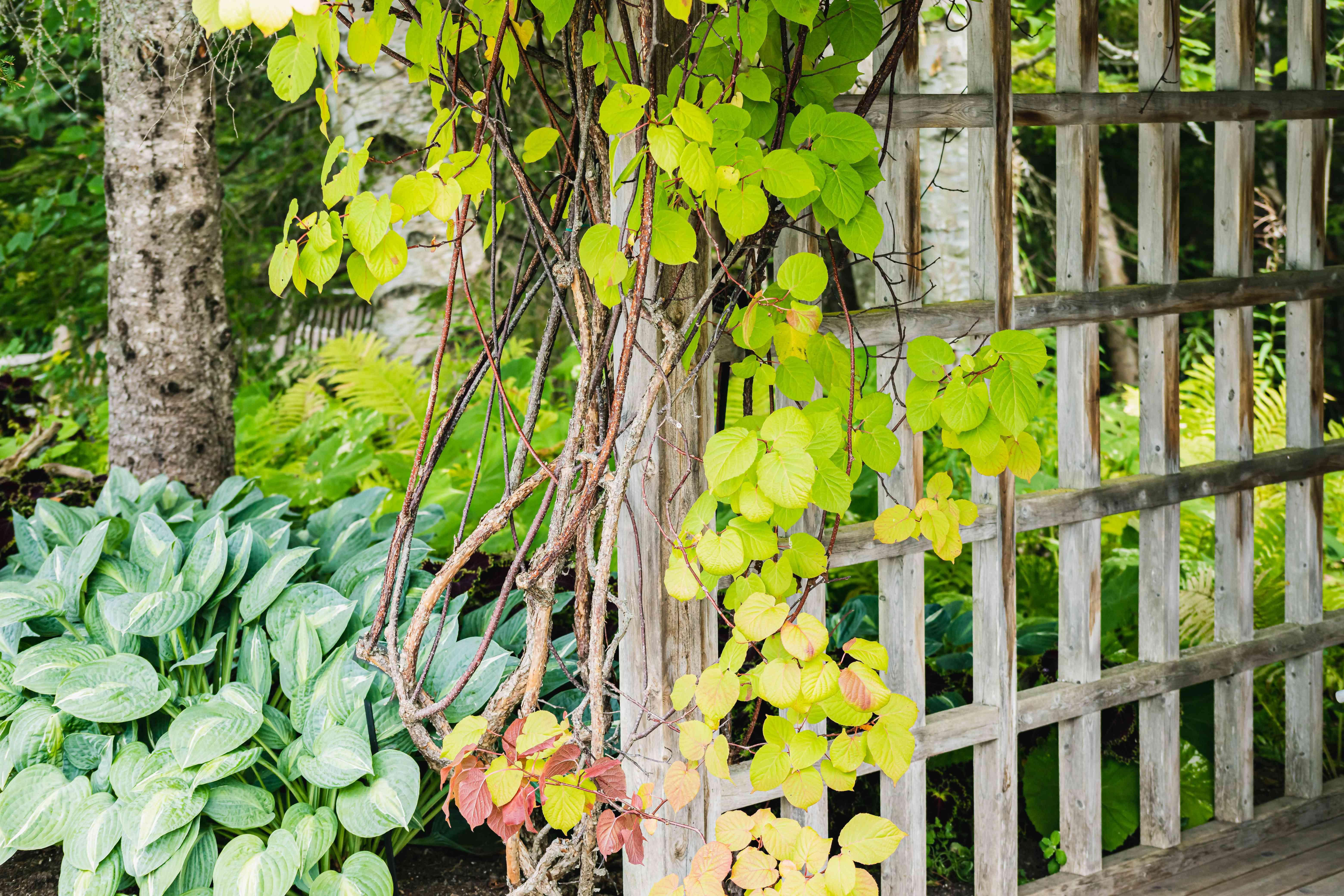 kiwi vine growing on a trellis