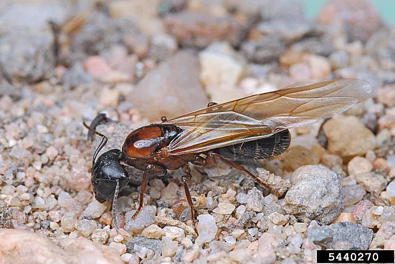Winged Carpenter Ant