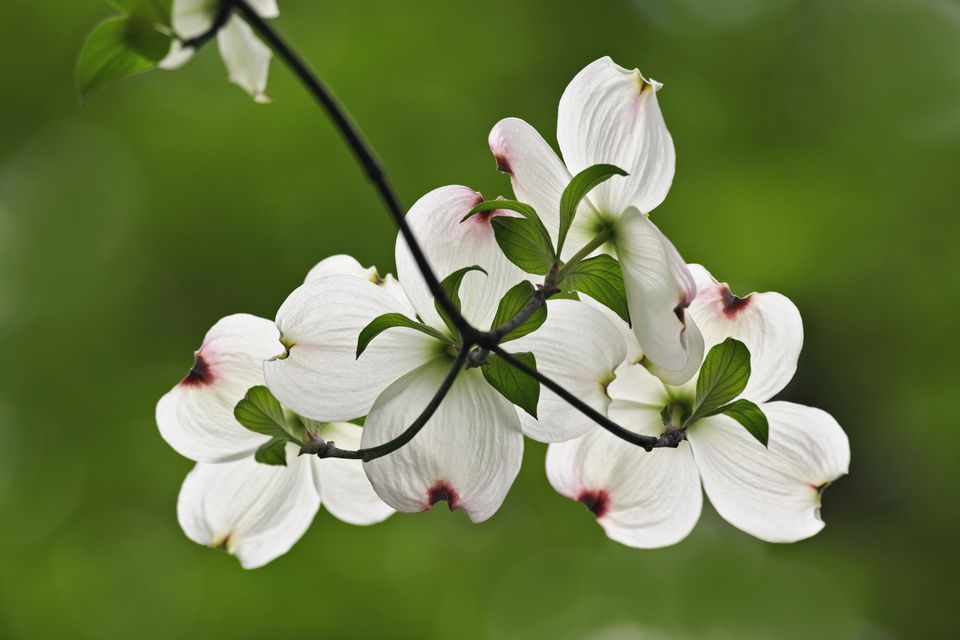 Branch of dogwood tree with white blooms.