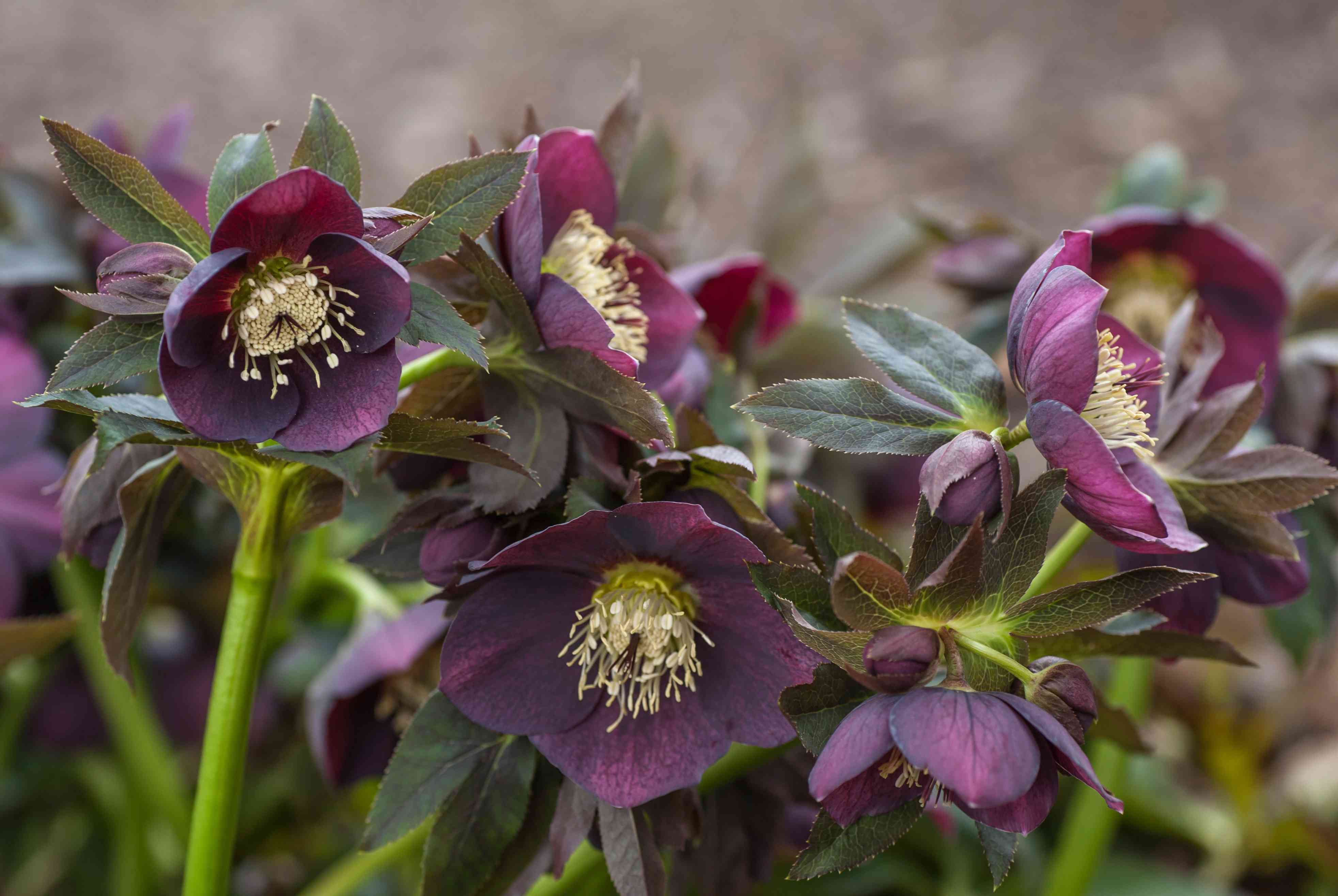 Hellebore plants with purple flowers and green stems