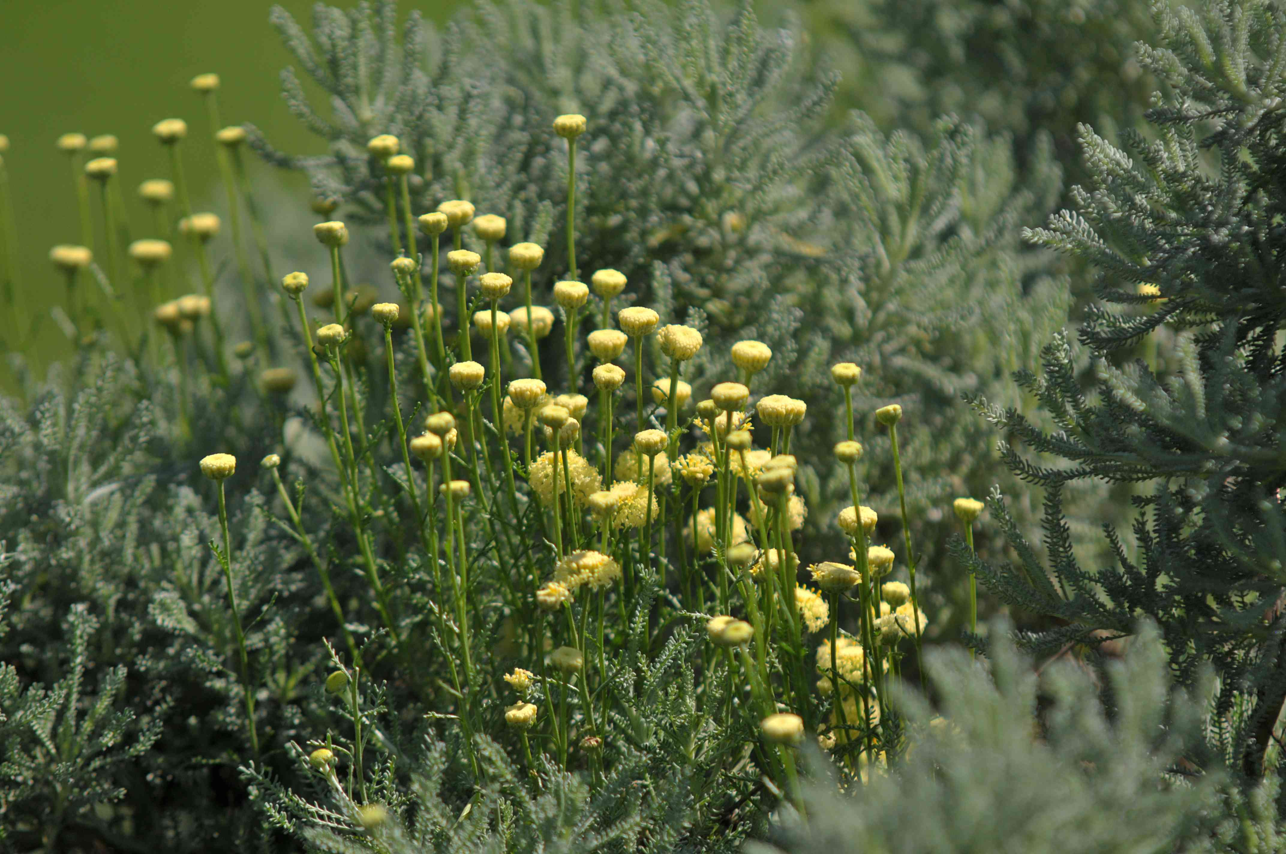 Lavender cotton plant with small yellow flowers on wiry stems in sunlight