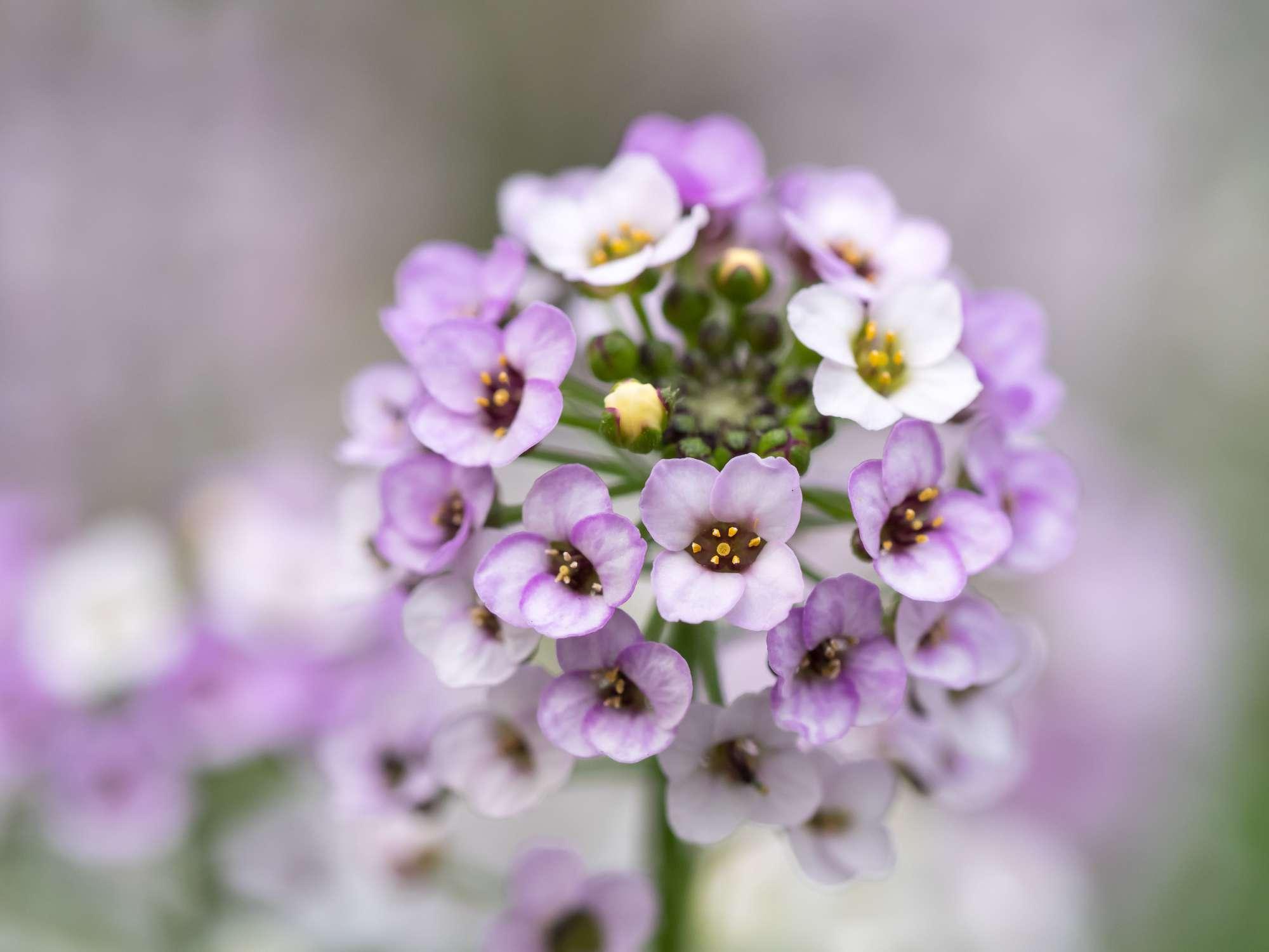 closeup of lavender colored sweet alyssum