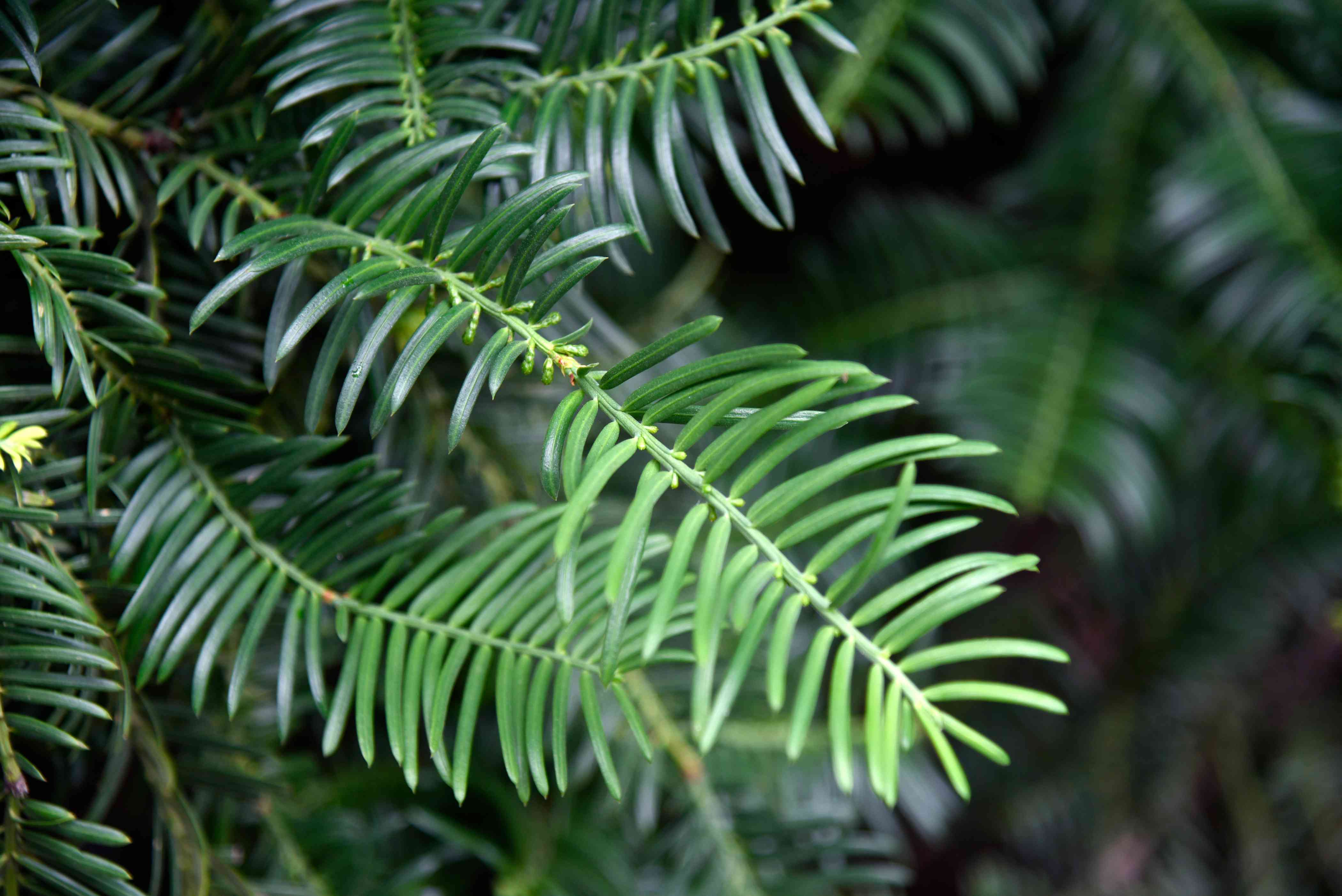 Japanese plum yew shrub branch with long needle-like leaves closeup