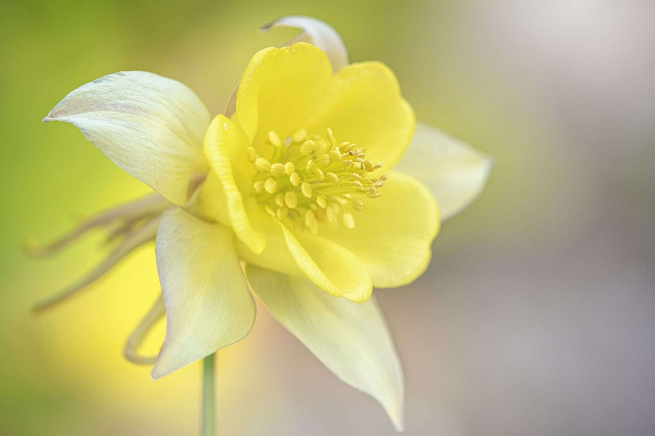 yellow columbine or Granny's Bonnet
