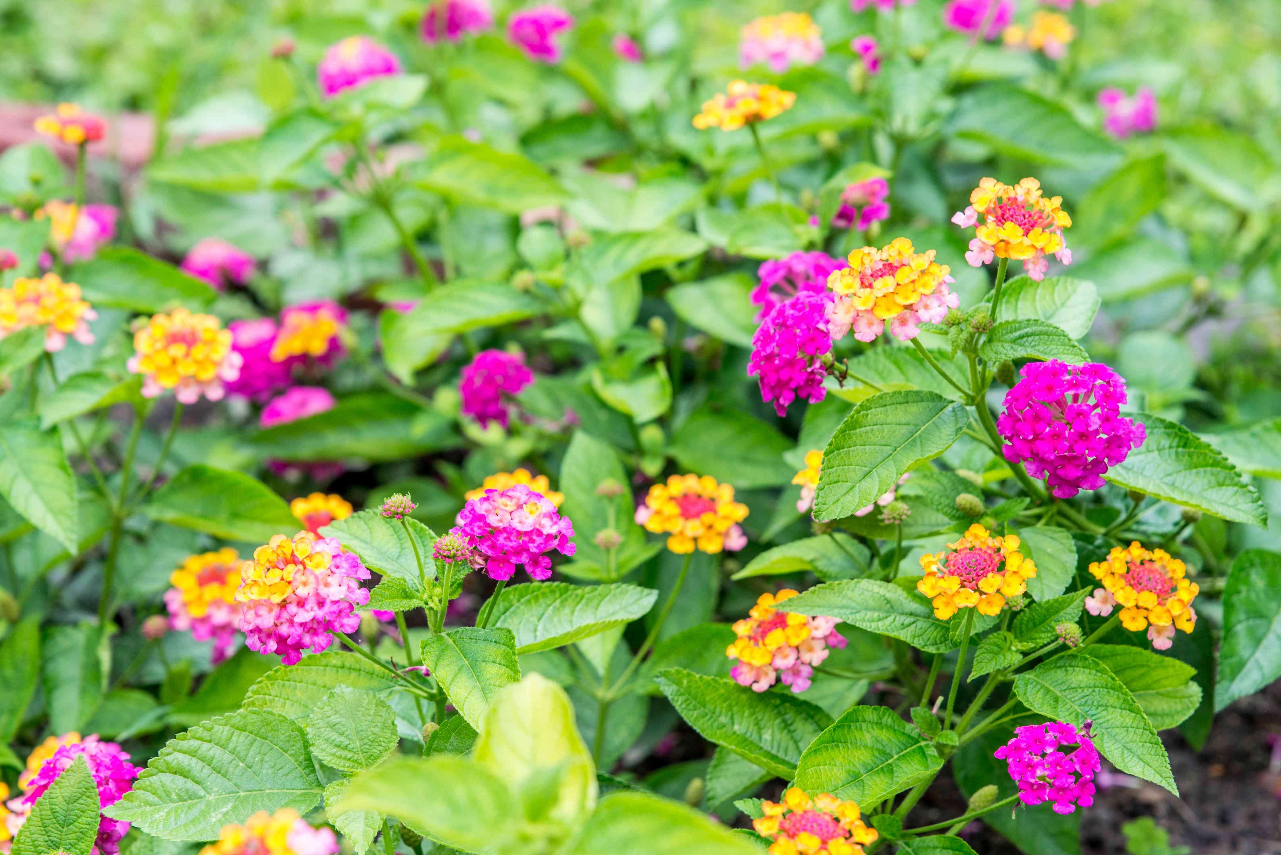 lantana flower ground cover