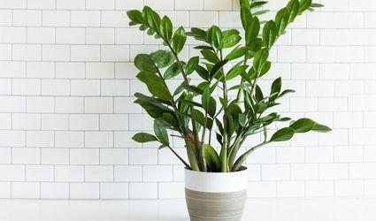 zanzibar gem plant