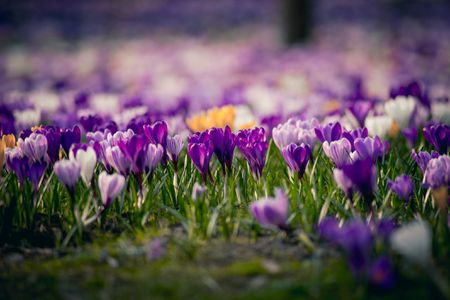 14 beautiful crocus varieties to plant crocus flowers announce spring mightylinksfo